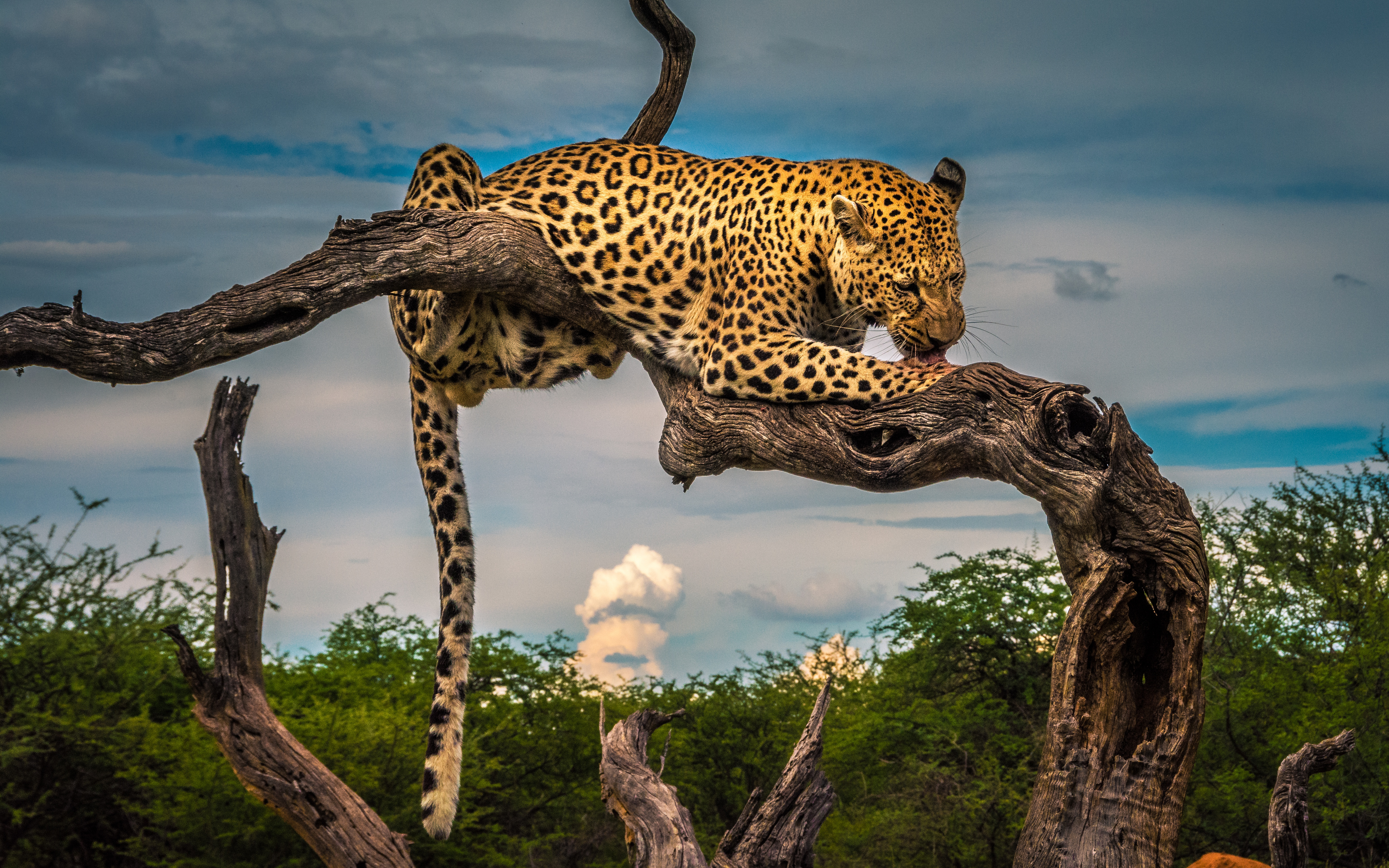 Wallpaper Leopard Licking paw