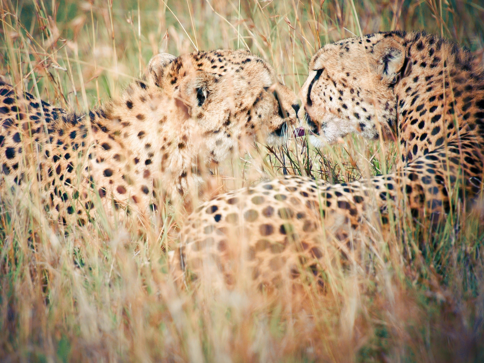Wallpaper Leopards in grass