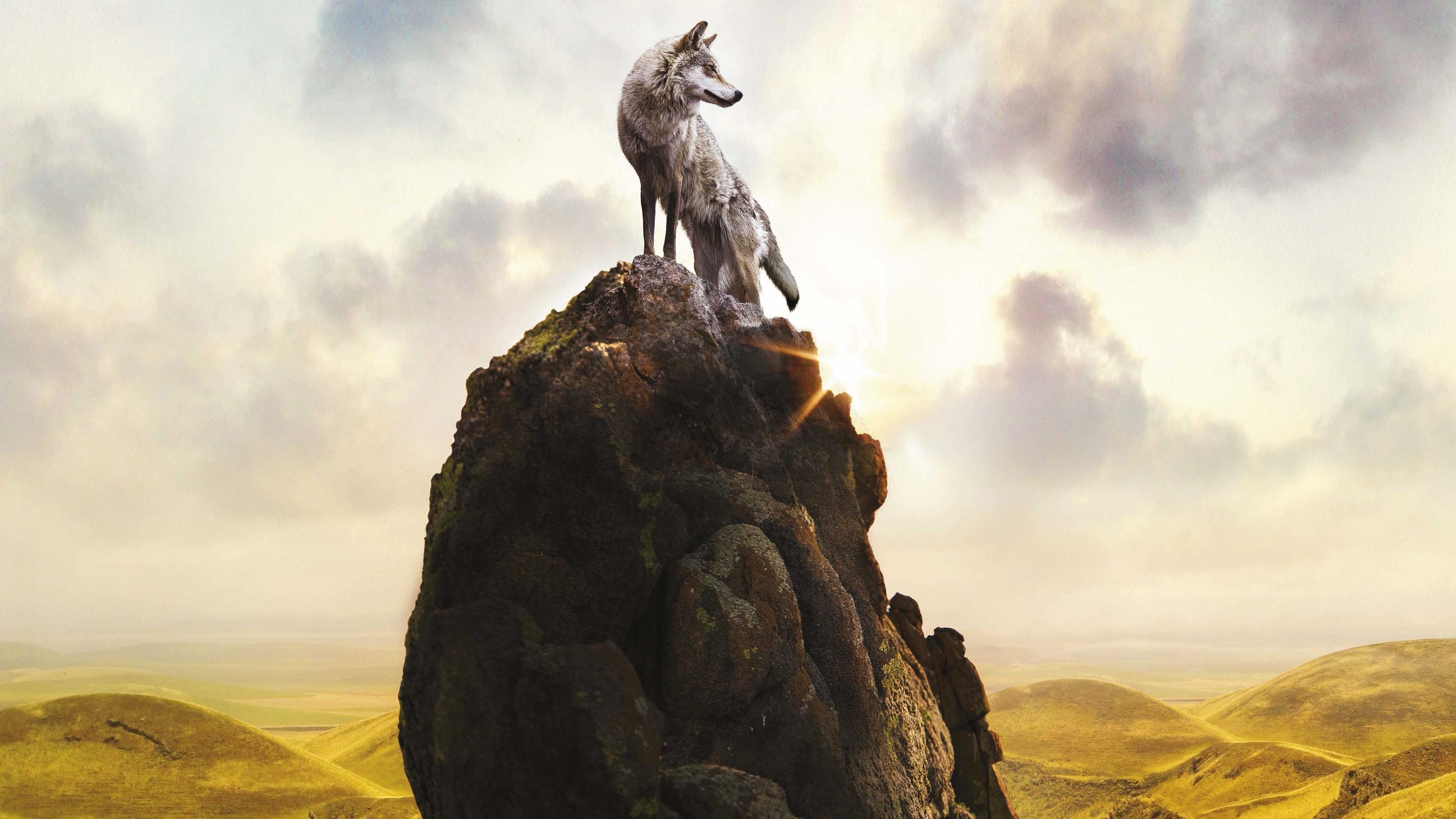 Fondos de pantalla Lobo arriba de una roca