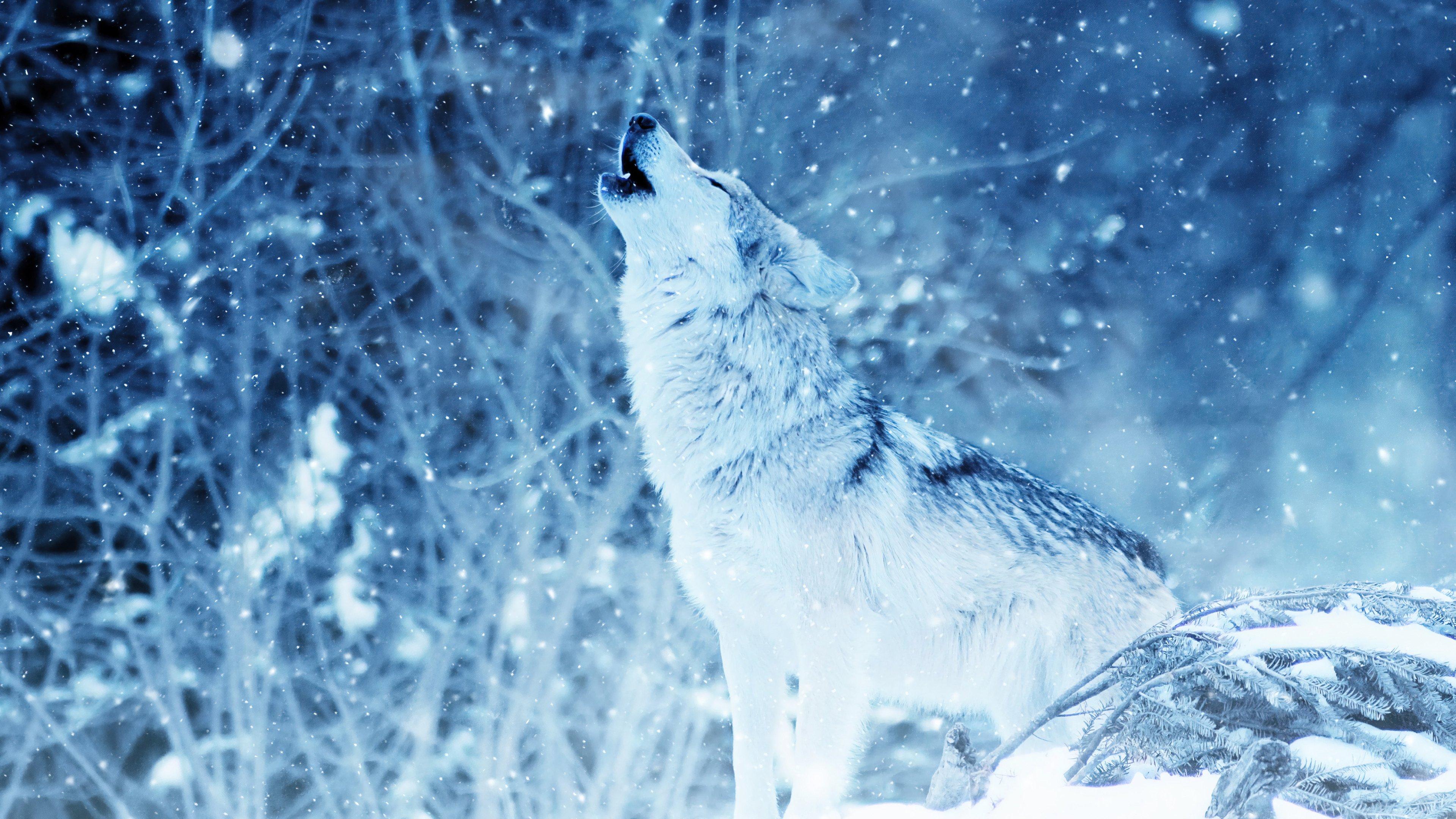 Fondos de pantalla Lobo aullando en el invierno