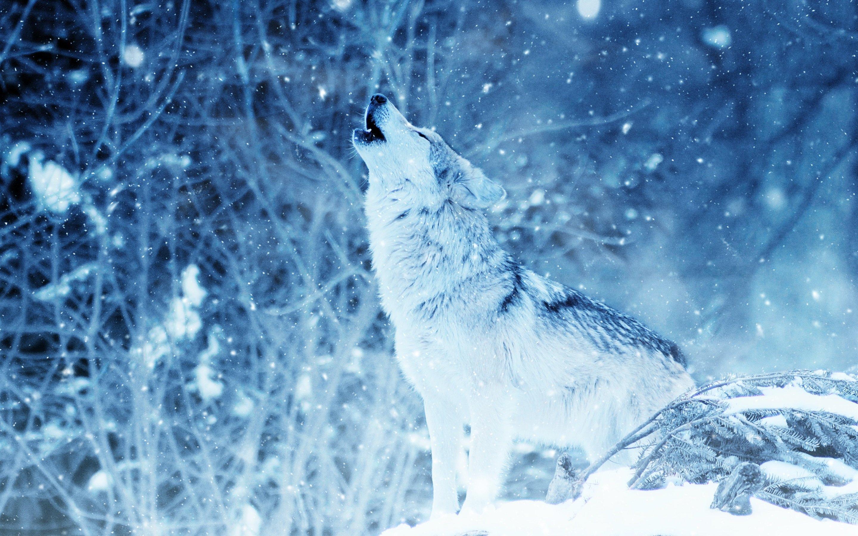 Fondos de pantalla Lobo aullando en invierno