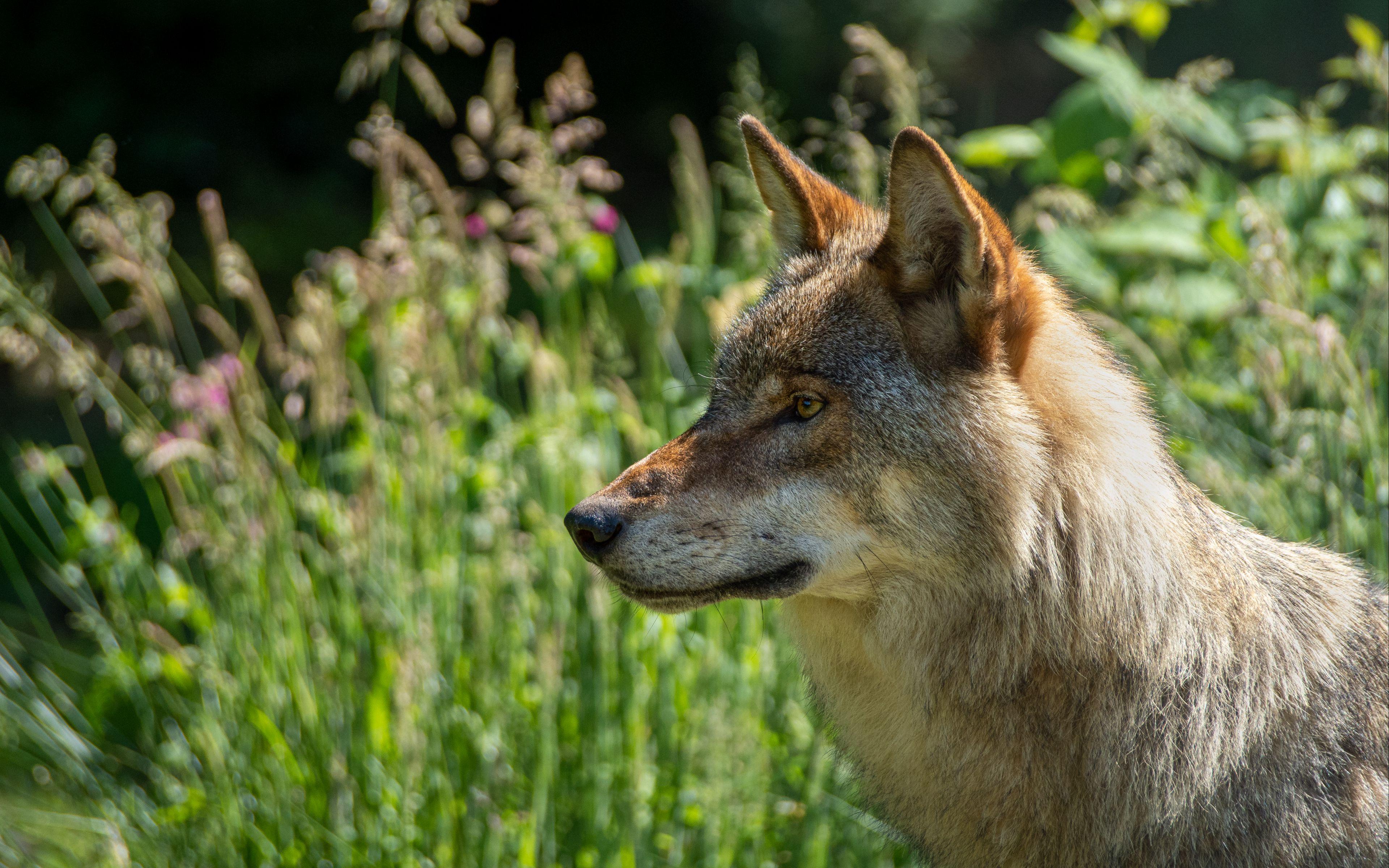 Fondos de pantalla Lobo en el campo