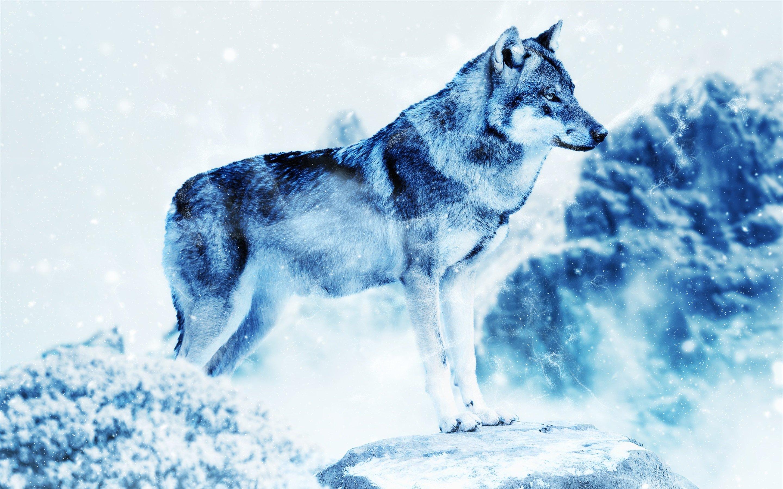 Fondos de pantalla Lobo en invierno