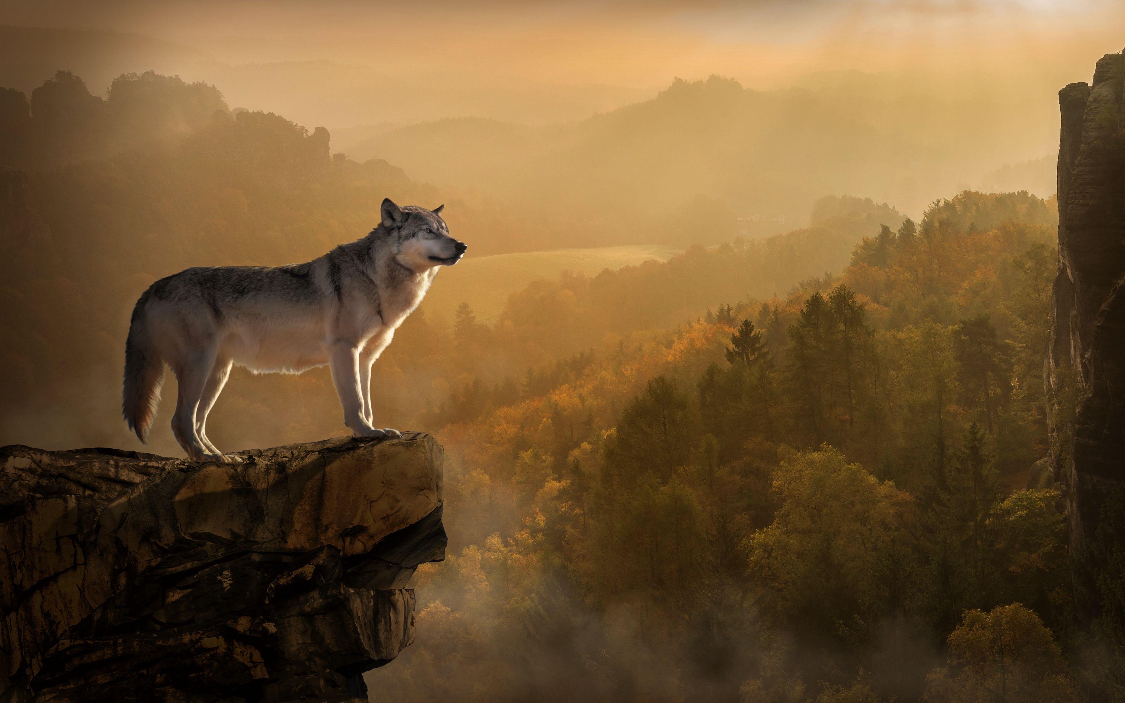 Fondos de pantalla Lobo en una roca arriba del bosque