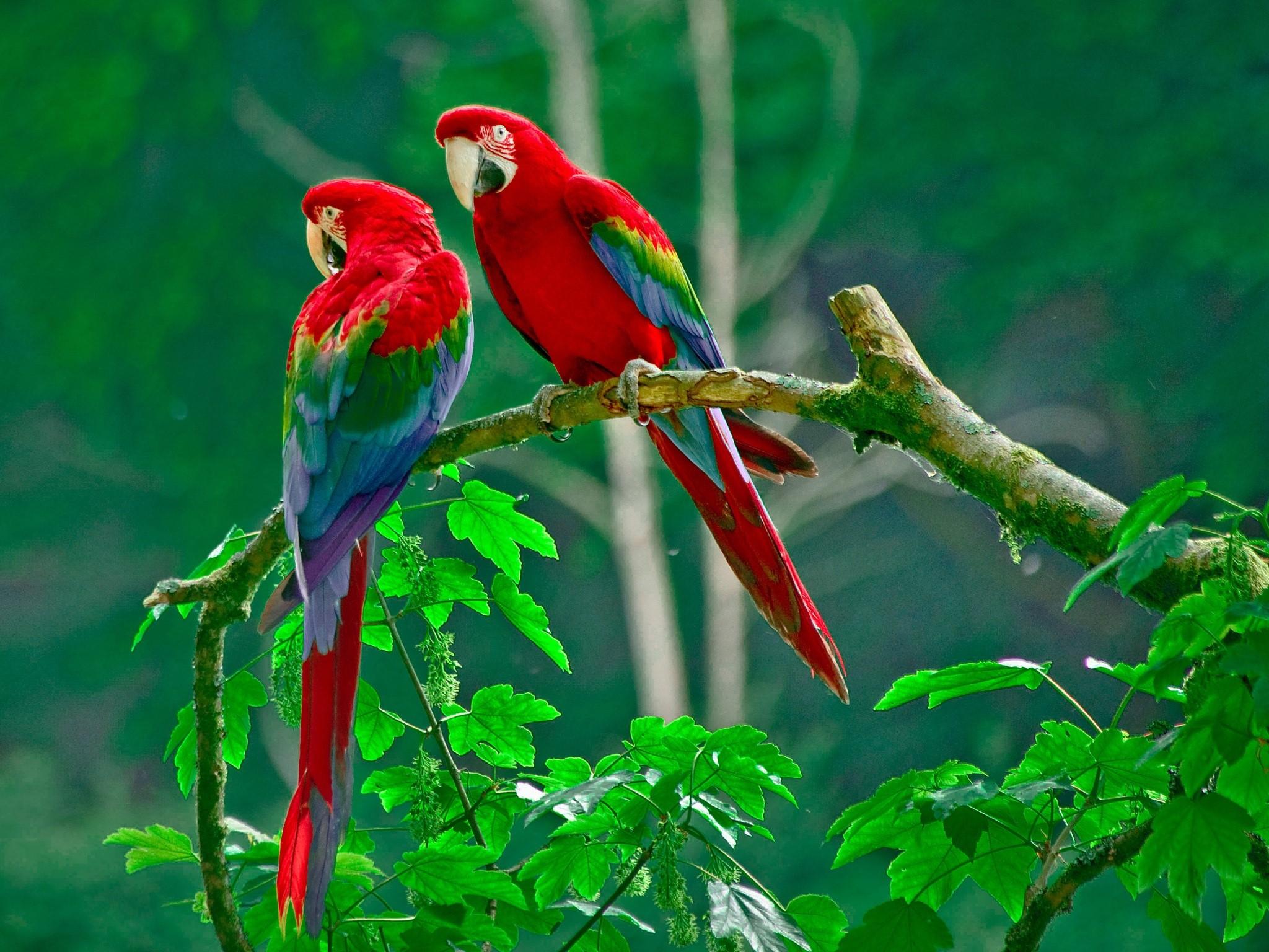 Wallpaper Parrots