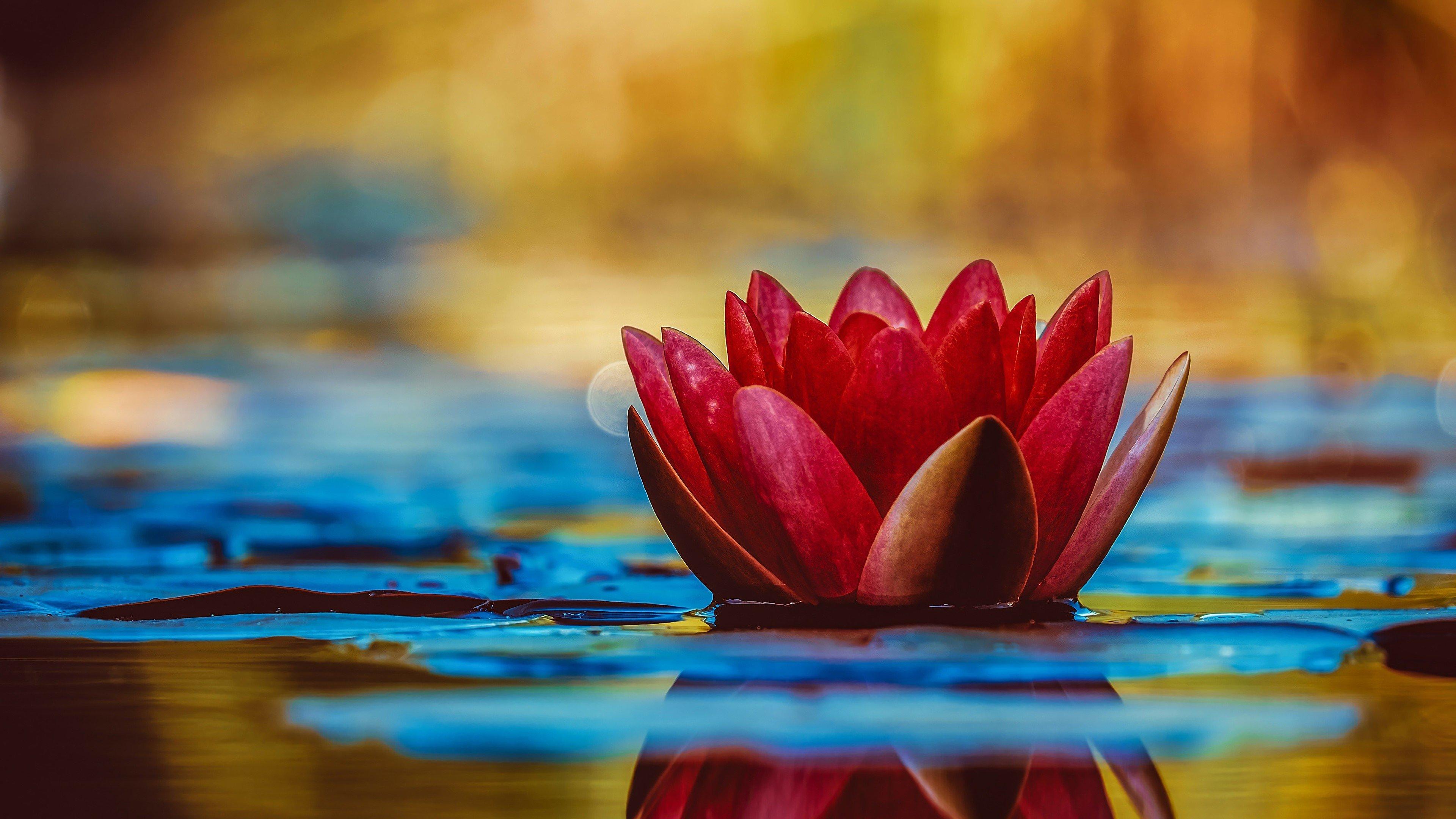 Fondos de pantalla Loto sagrado flotando en agua