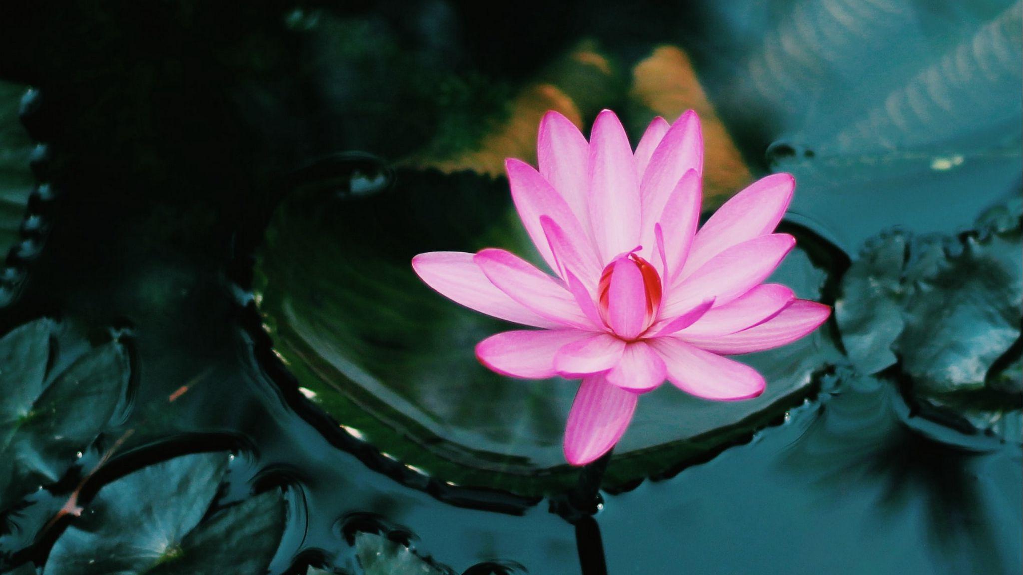 Wallpaper Lotus floating in water