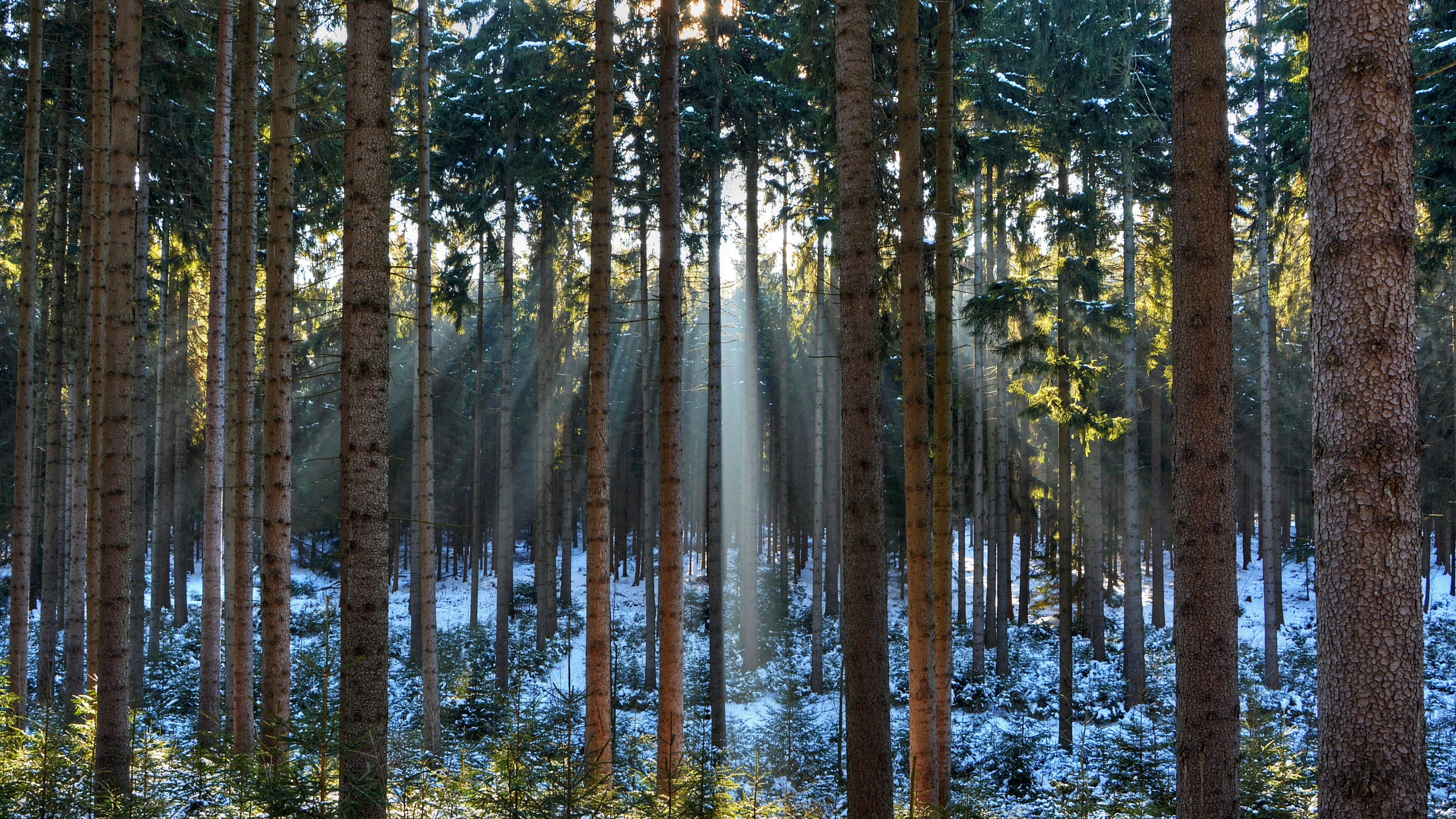 Fondos de pantalla Luz del sol a través de pinos en el bosque