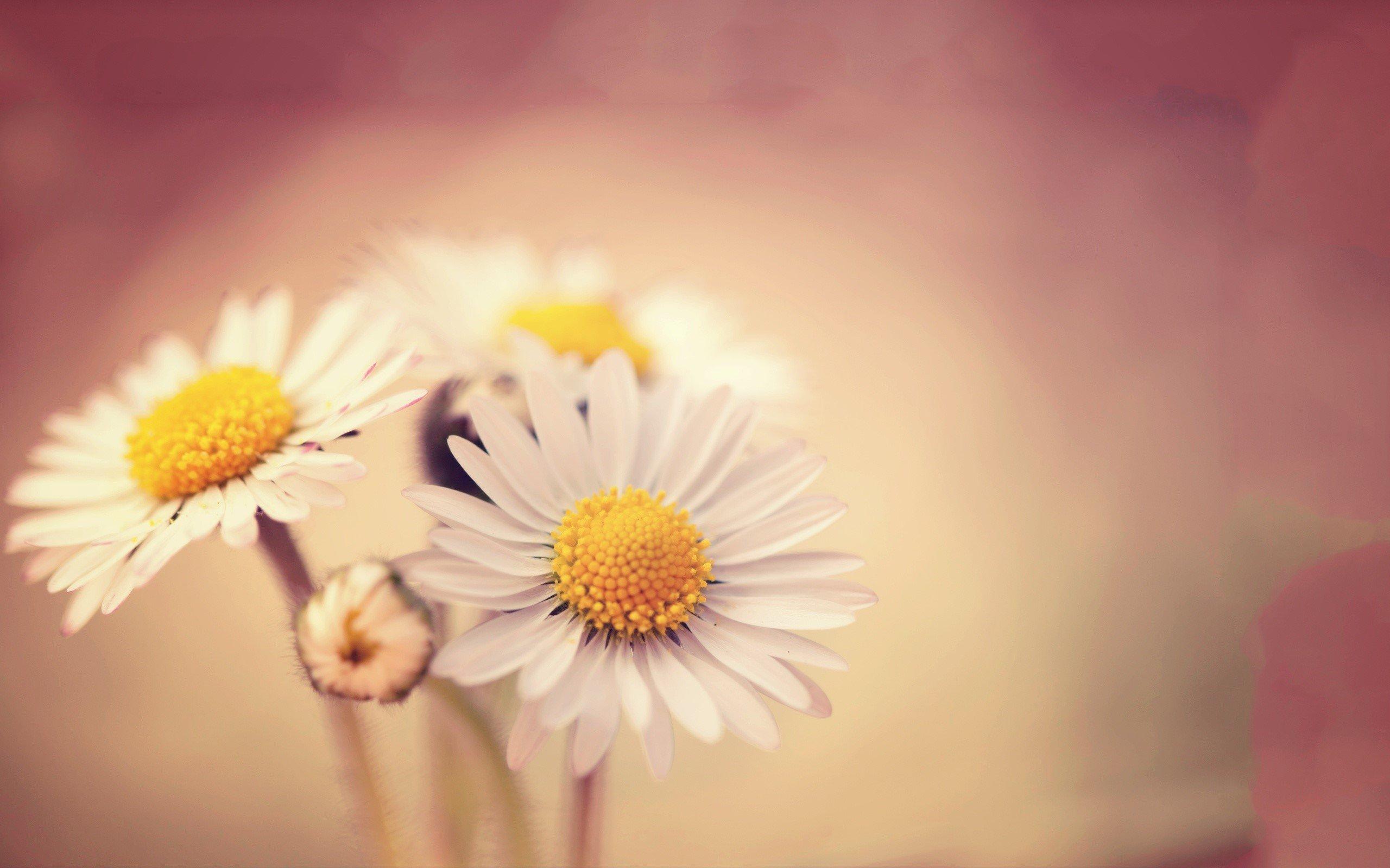 Wallpaper White daisies