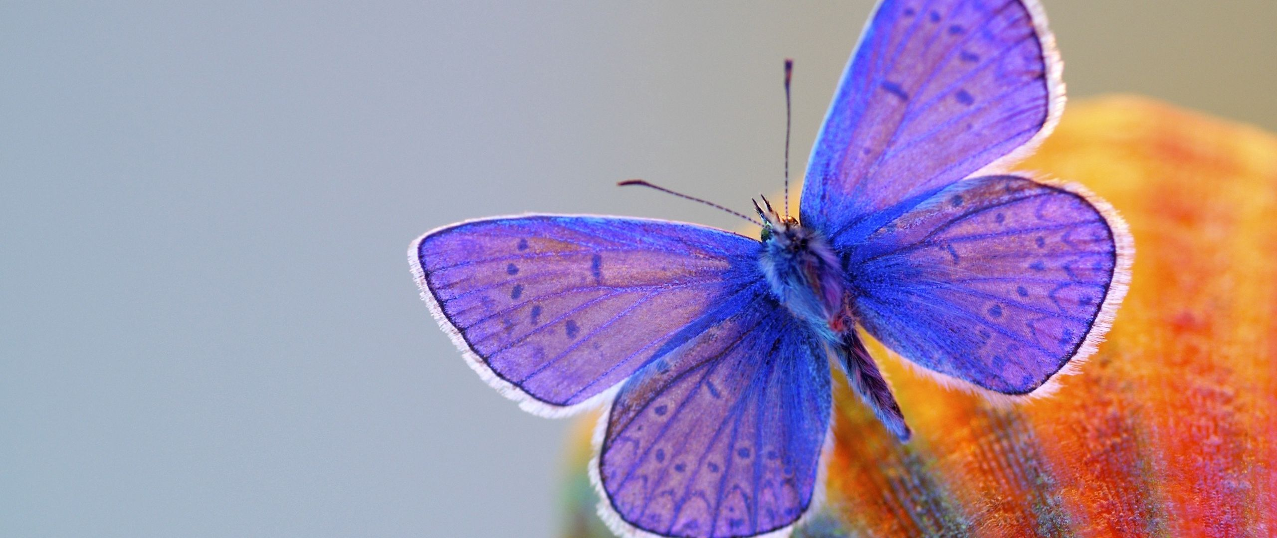 Fondos de pantalla Mariposa con alas moradas