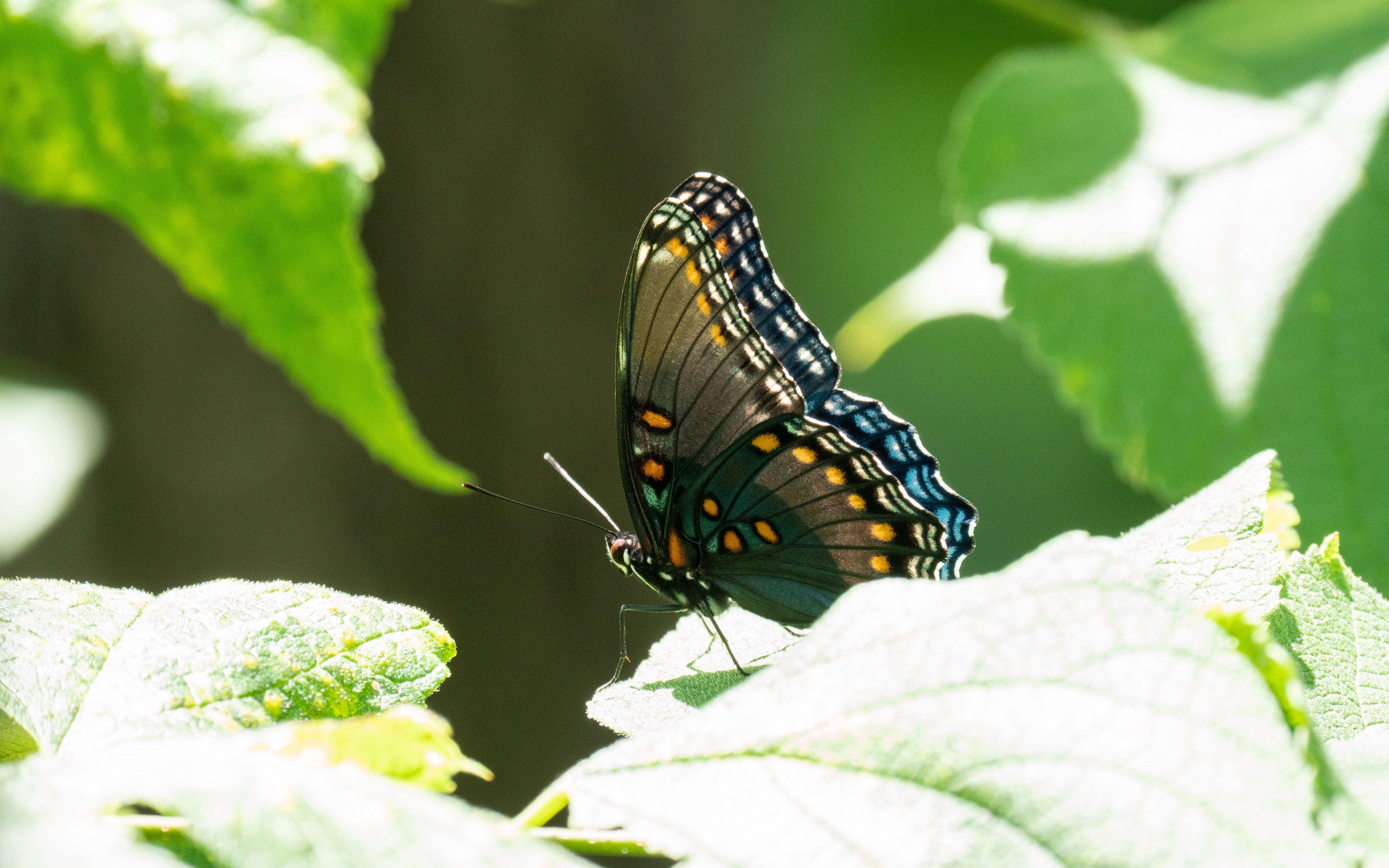 Fondos de pantalla Mariposa con alas tropicales