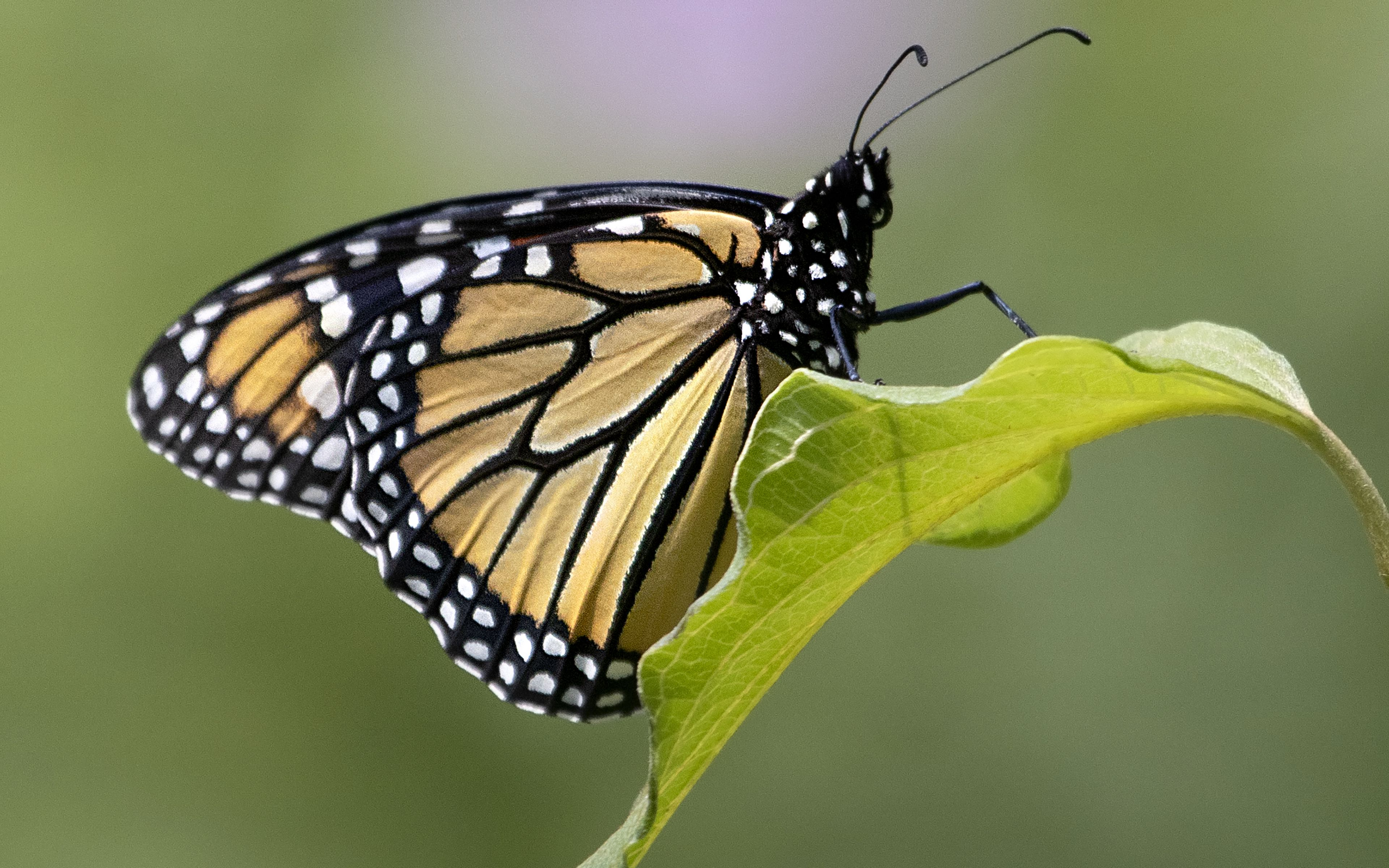 Wallpaper Butterfly on leave