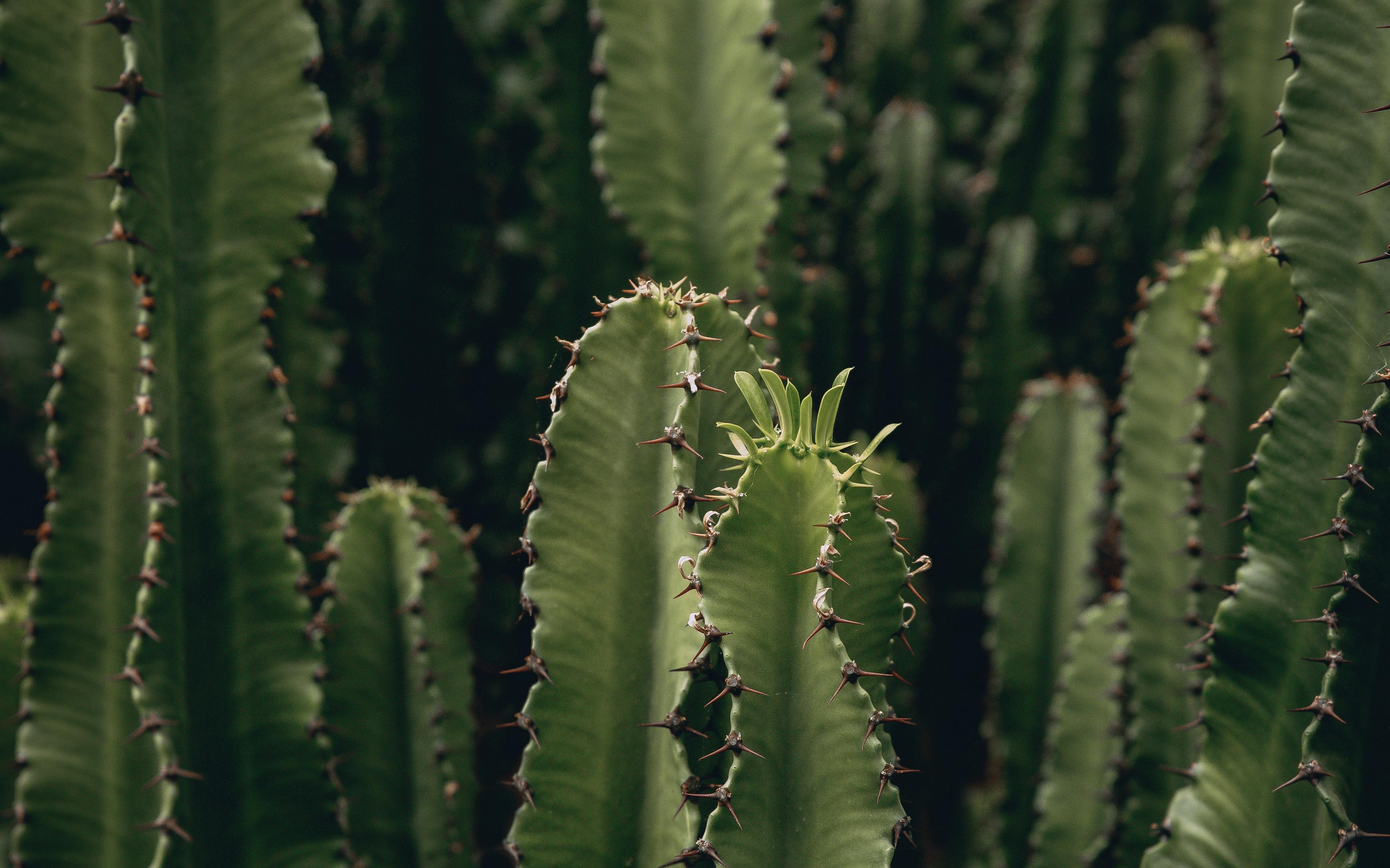 Fondos de pantalla Muchos cactus con espinas