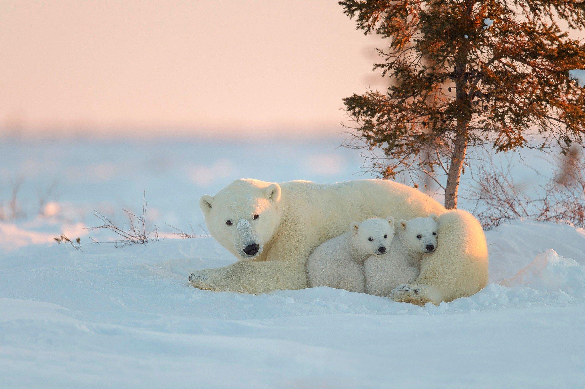 Fondos de pantalla Oso polar con osos bebés