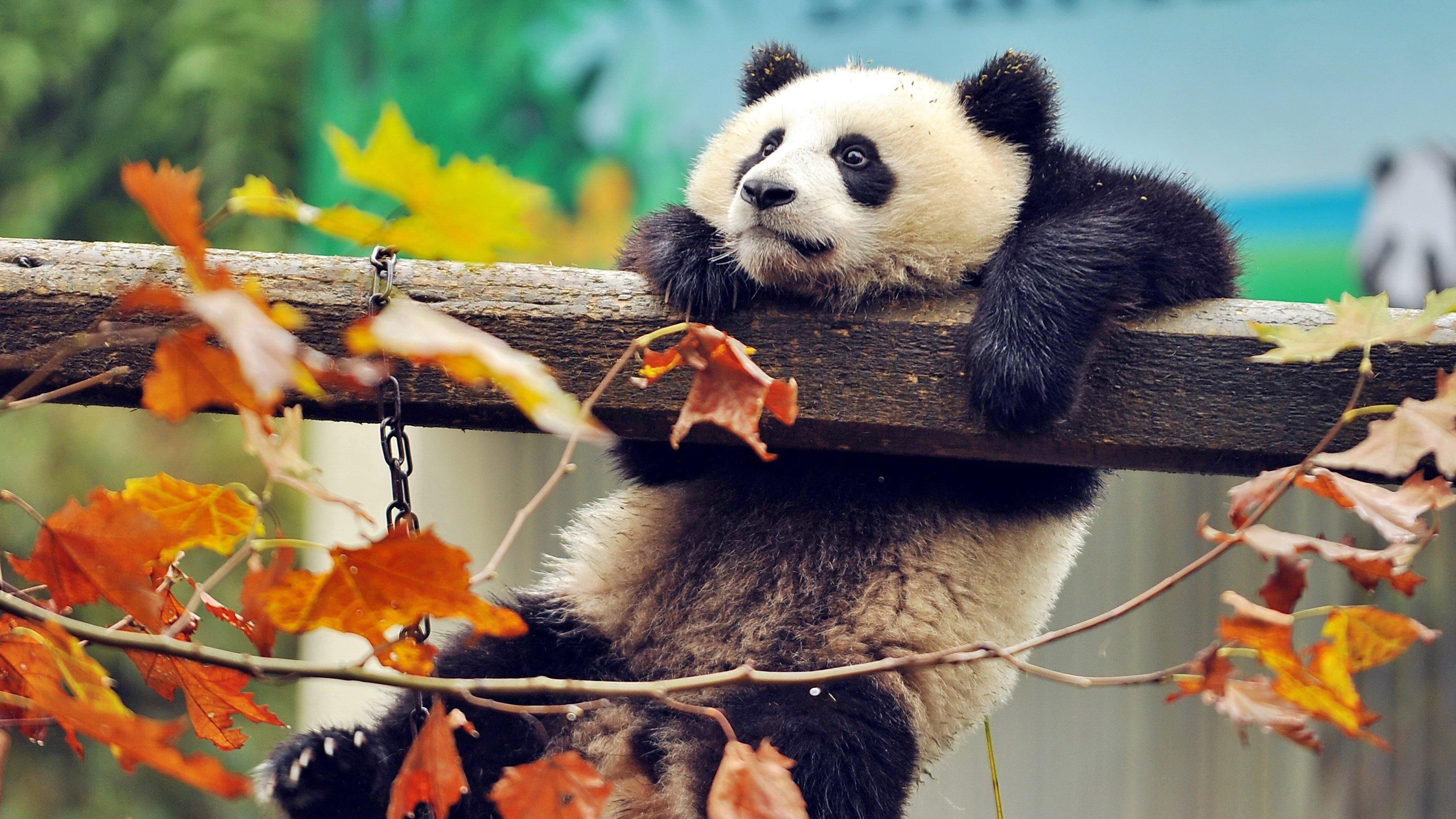 Fondos de pantalla Panda agarrado de una rama