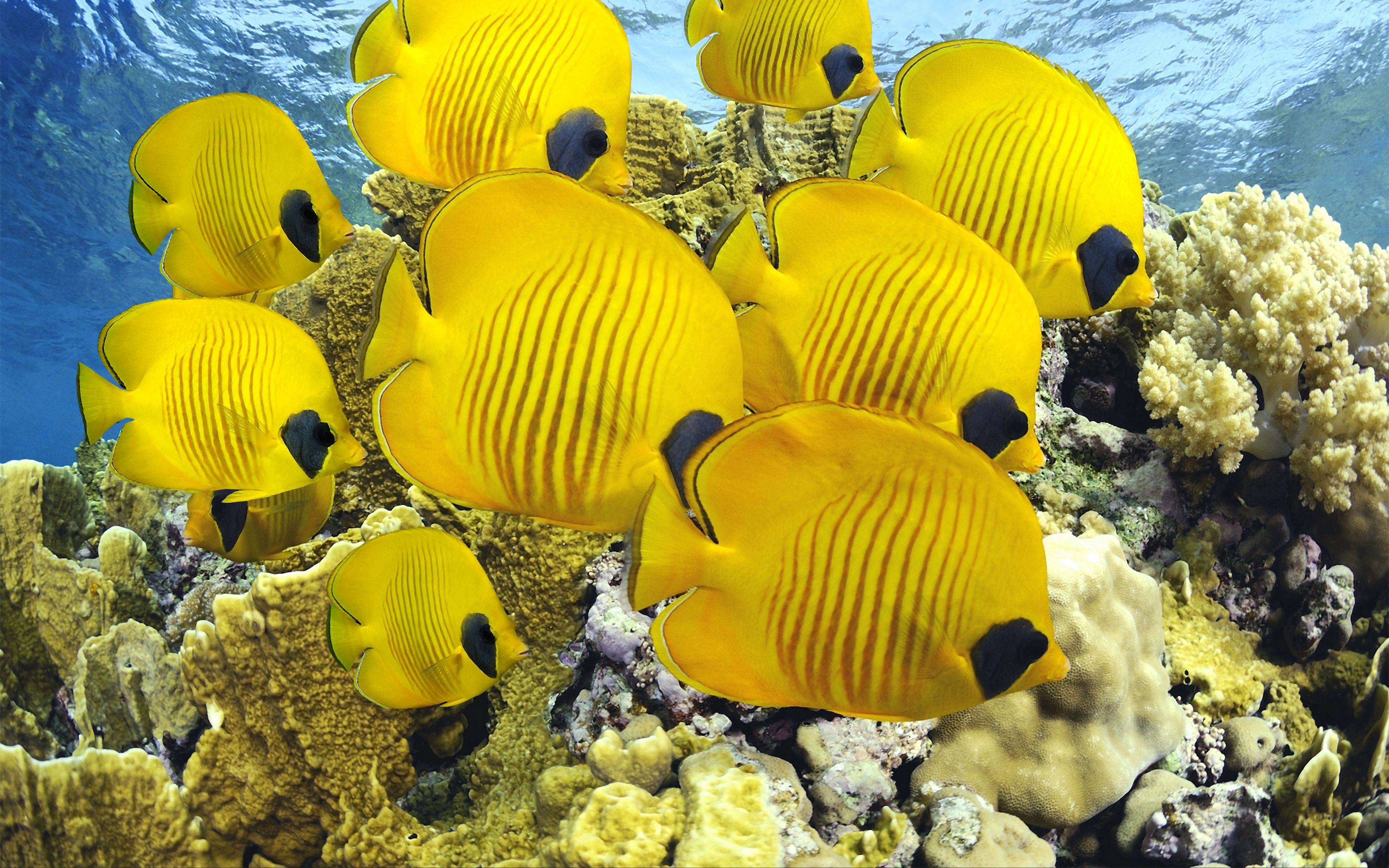 Fondos de pantalla Peces amirillos bajo el agua