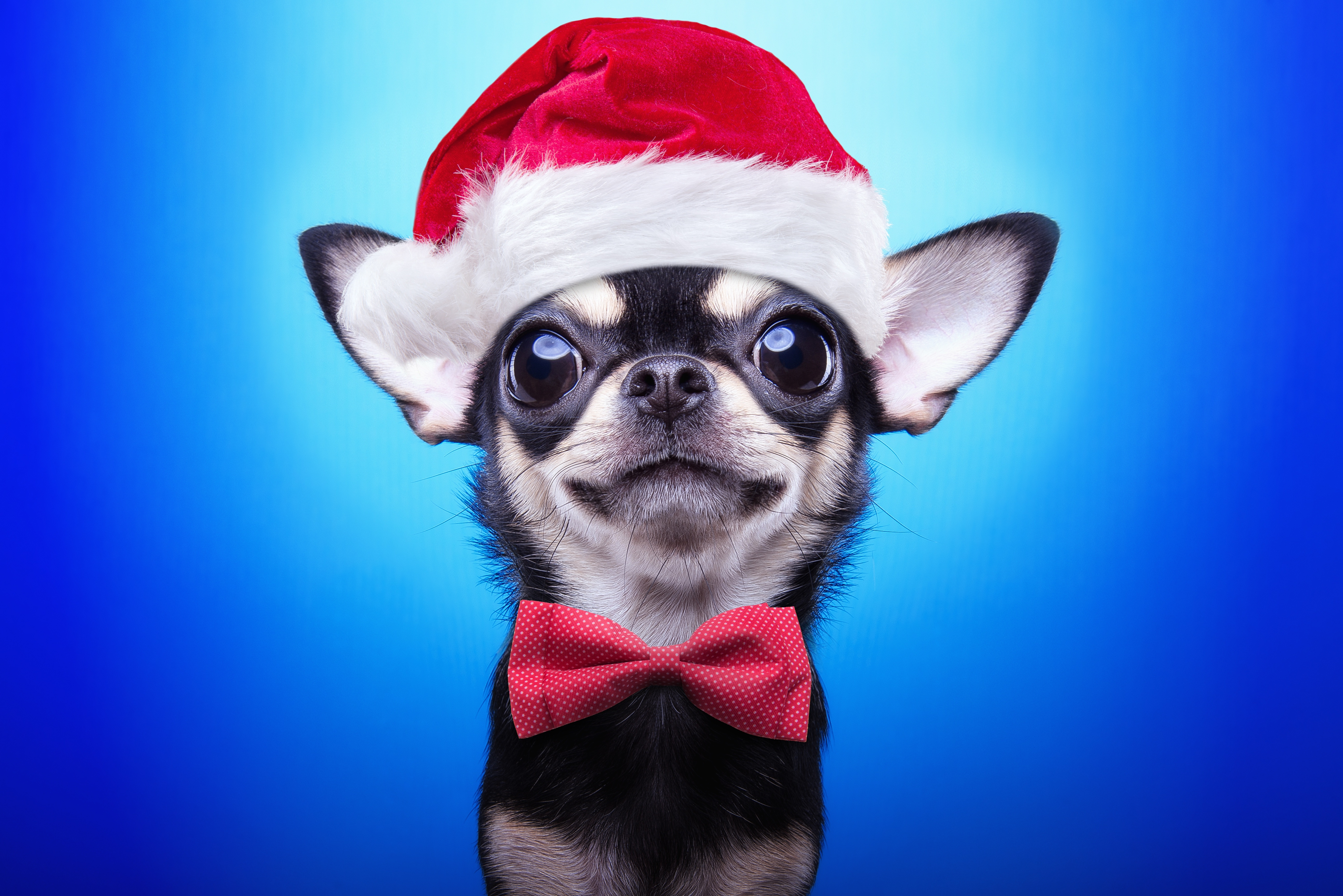 Fondos de pantalla Perro Chihuahua con Gorro de Navidad