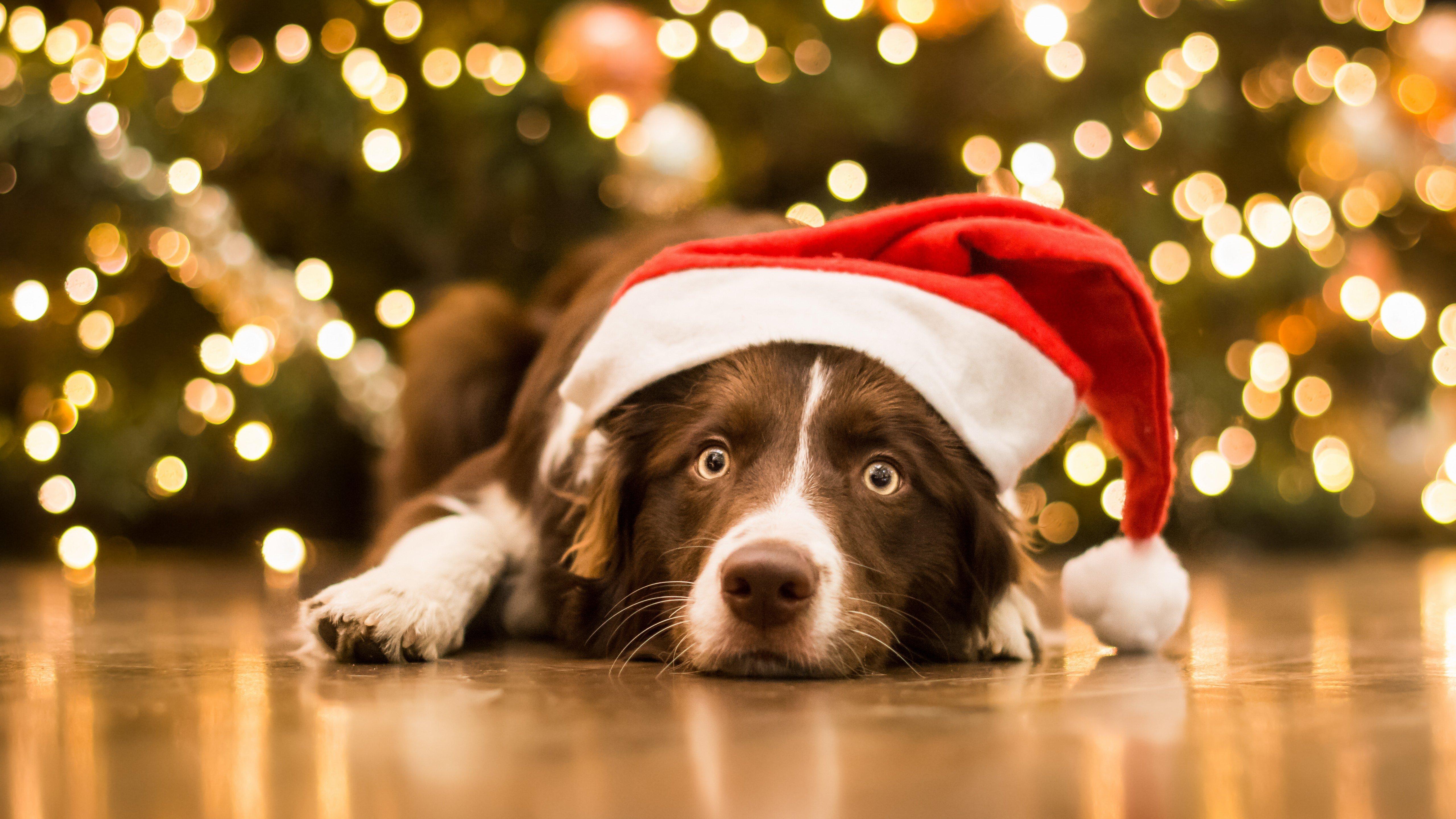 Wallpaper Dog with Santa Claus hat