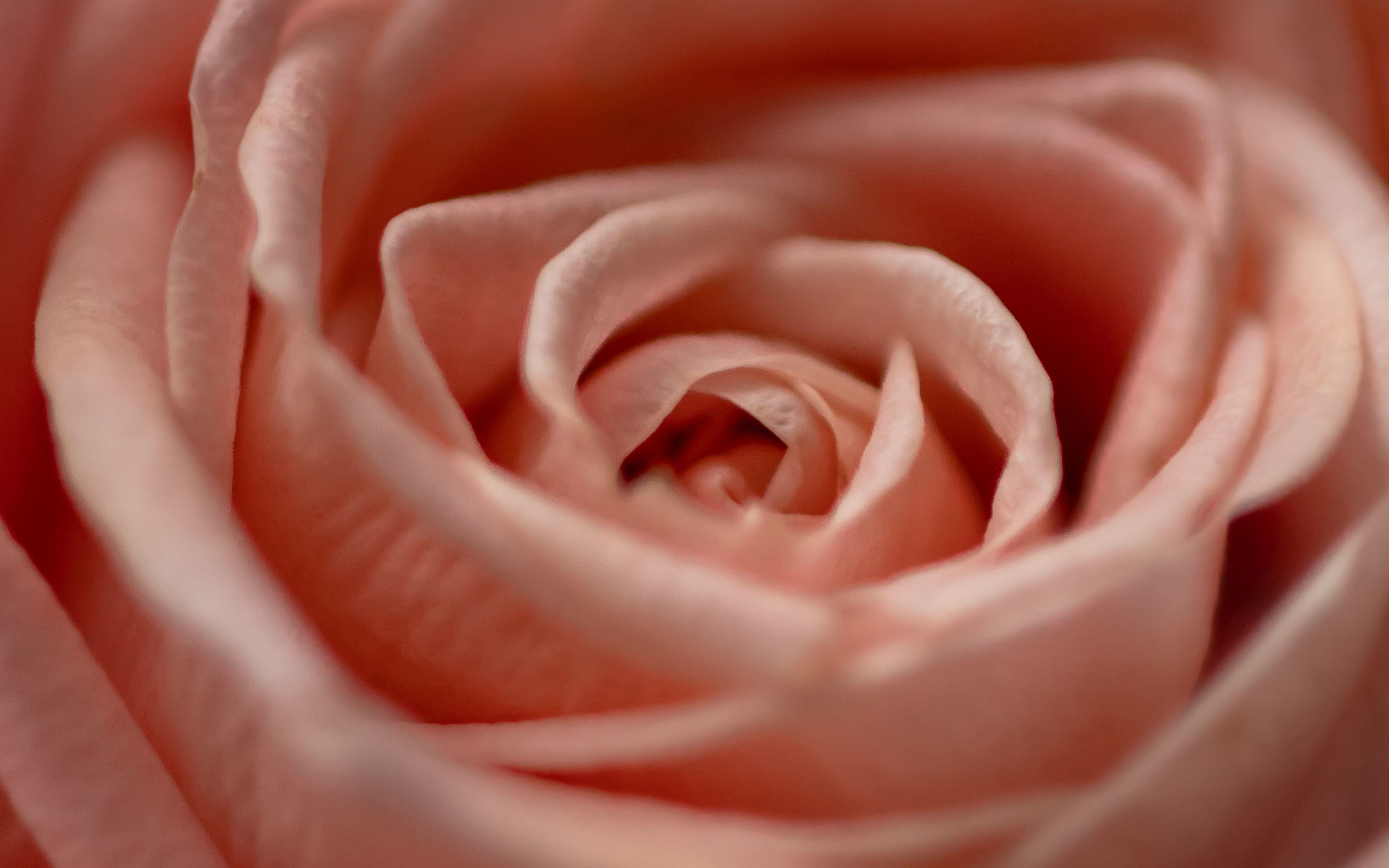 Fondos de pantalla Petalos de rosa de cerca