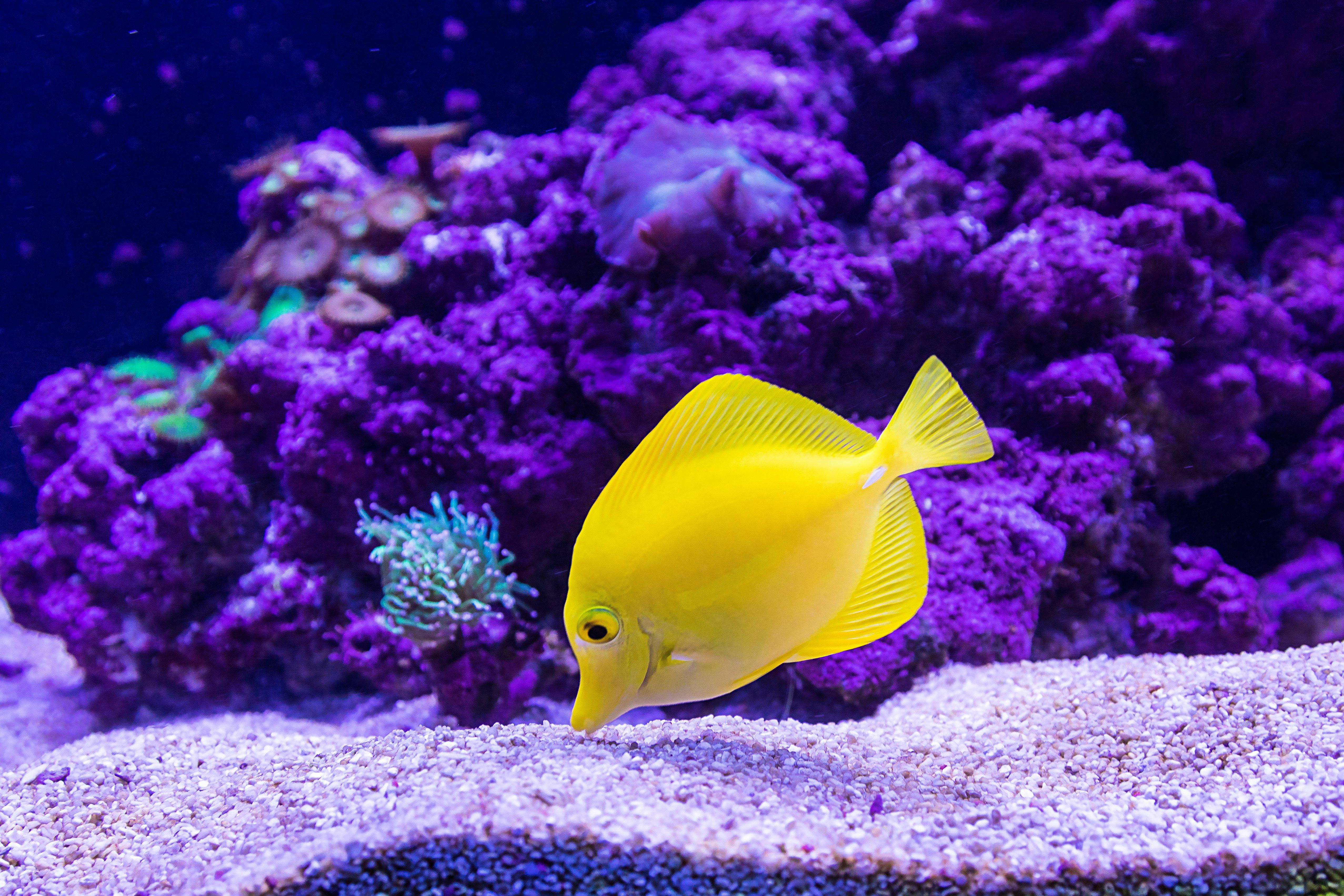 Wallpaper Yellow fish