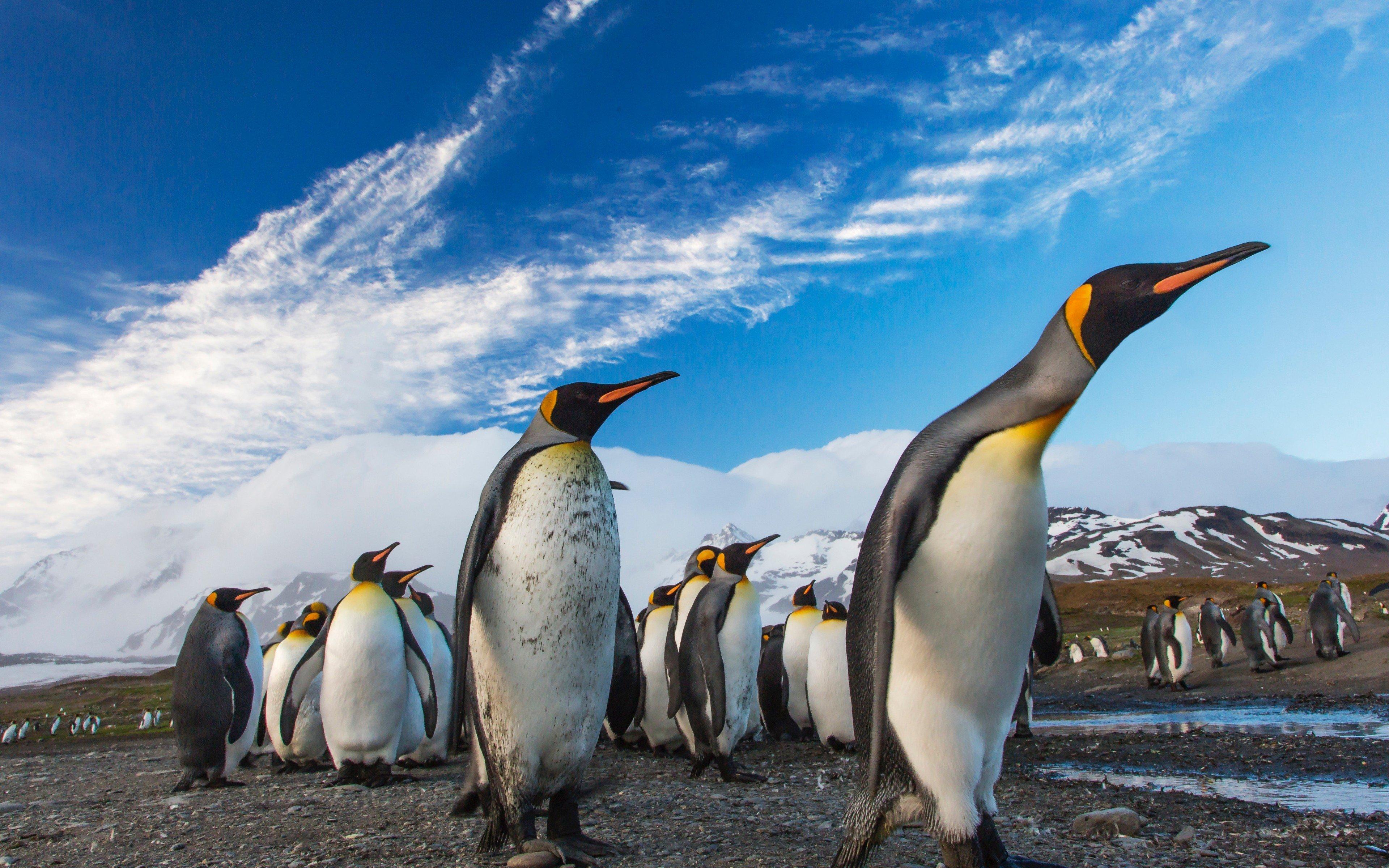 Wallpaper Penguins walking