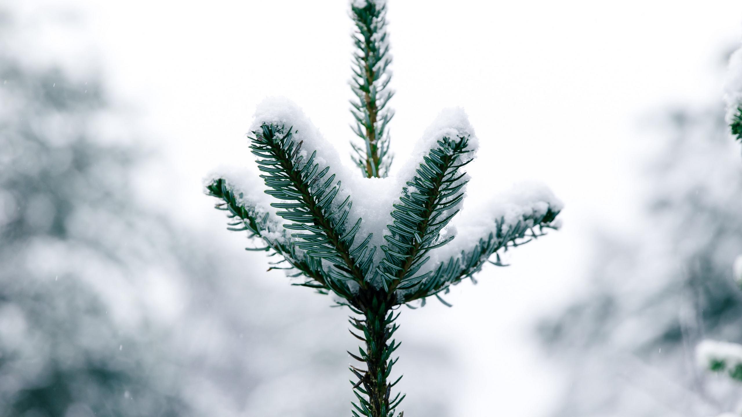Fondos de pantalla Pino con nieve