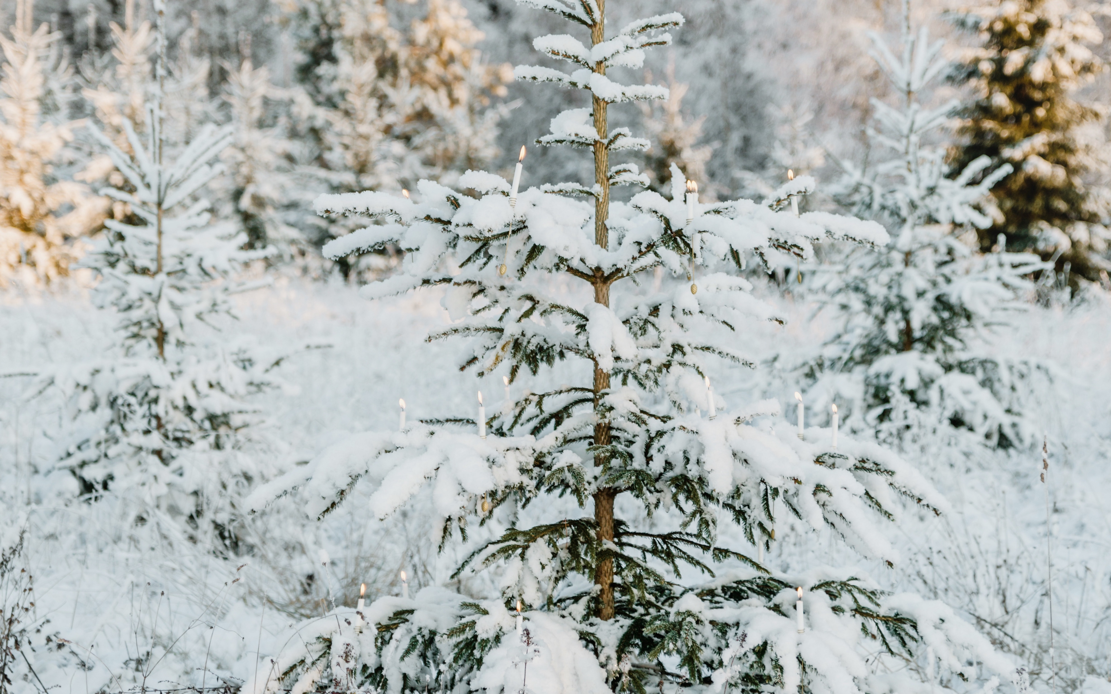 Pines With Snow Wallpaper 4k Ultra Hd Id4334