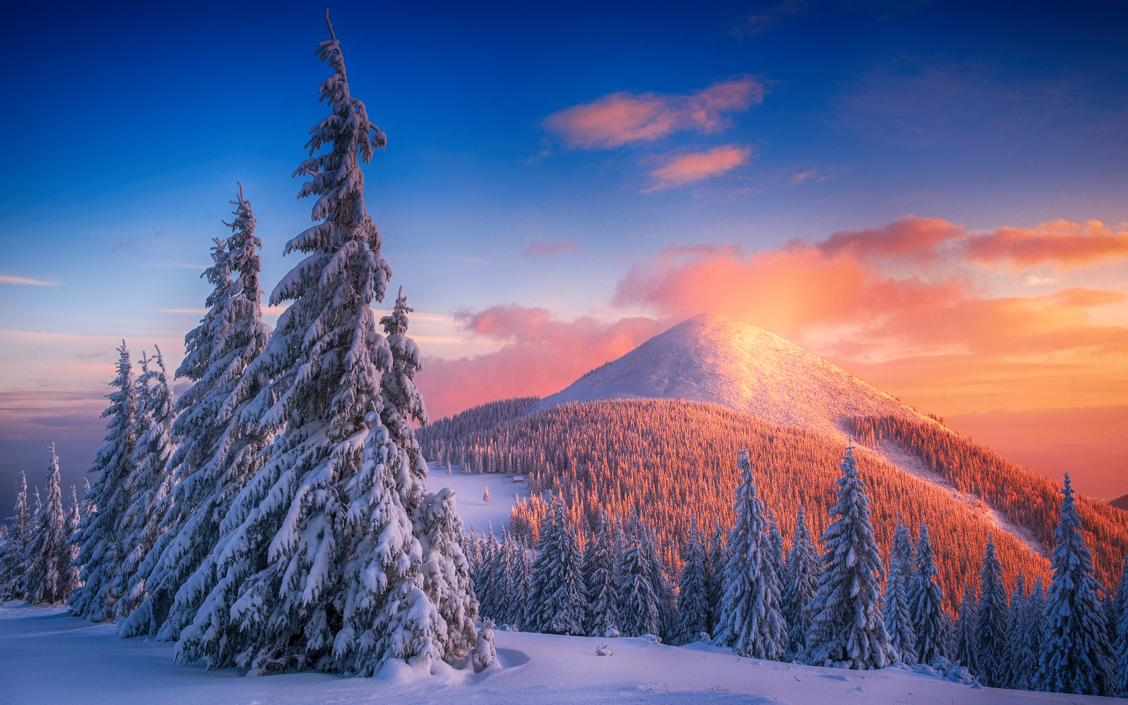 Wallpaper Snowy pine trees at sunset in mountains