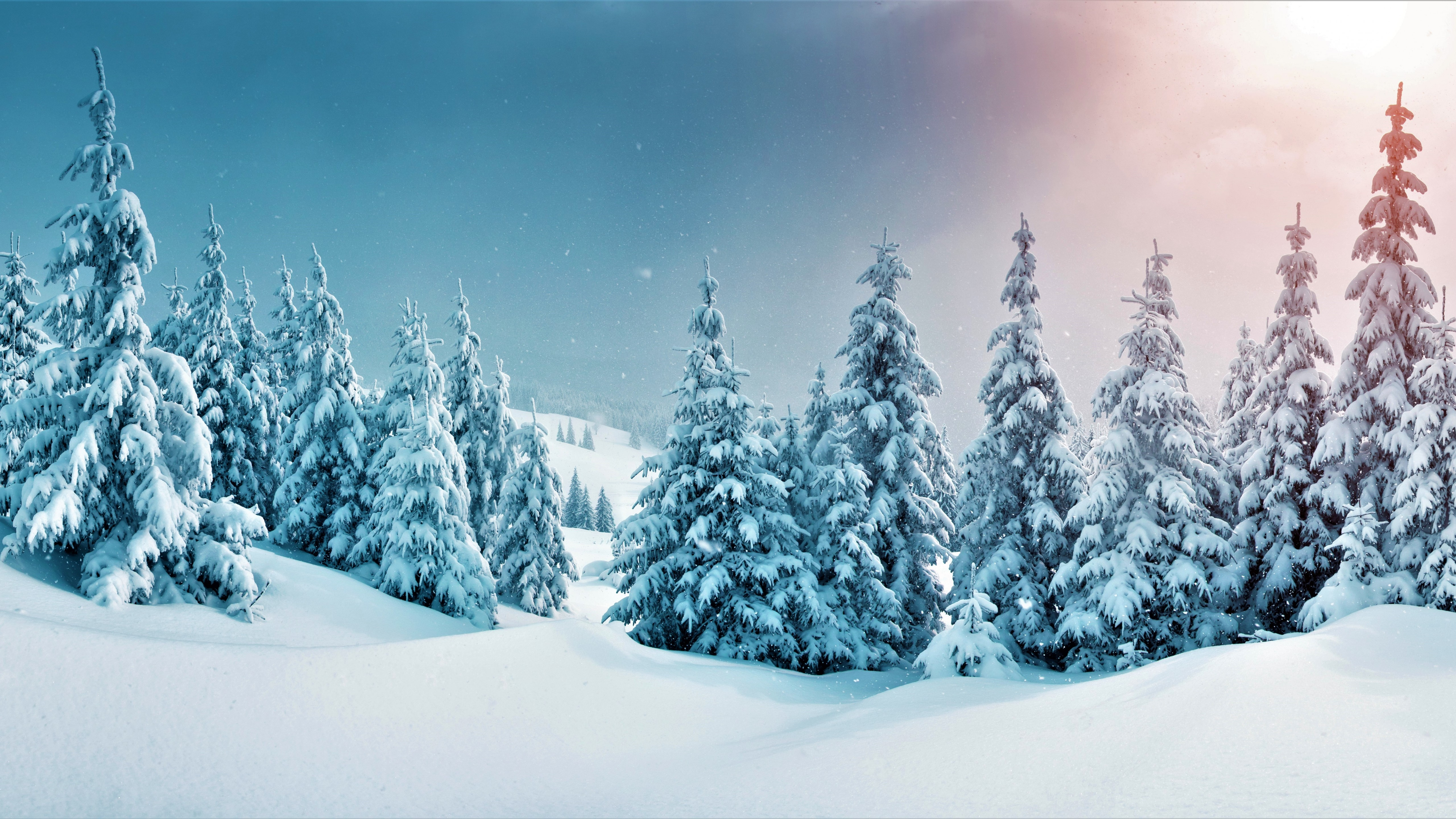 Wallpaper Pine trees in snowy forest