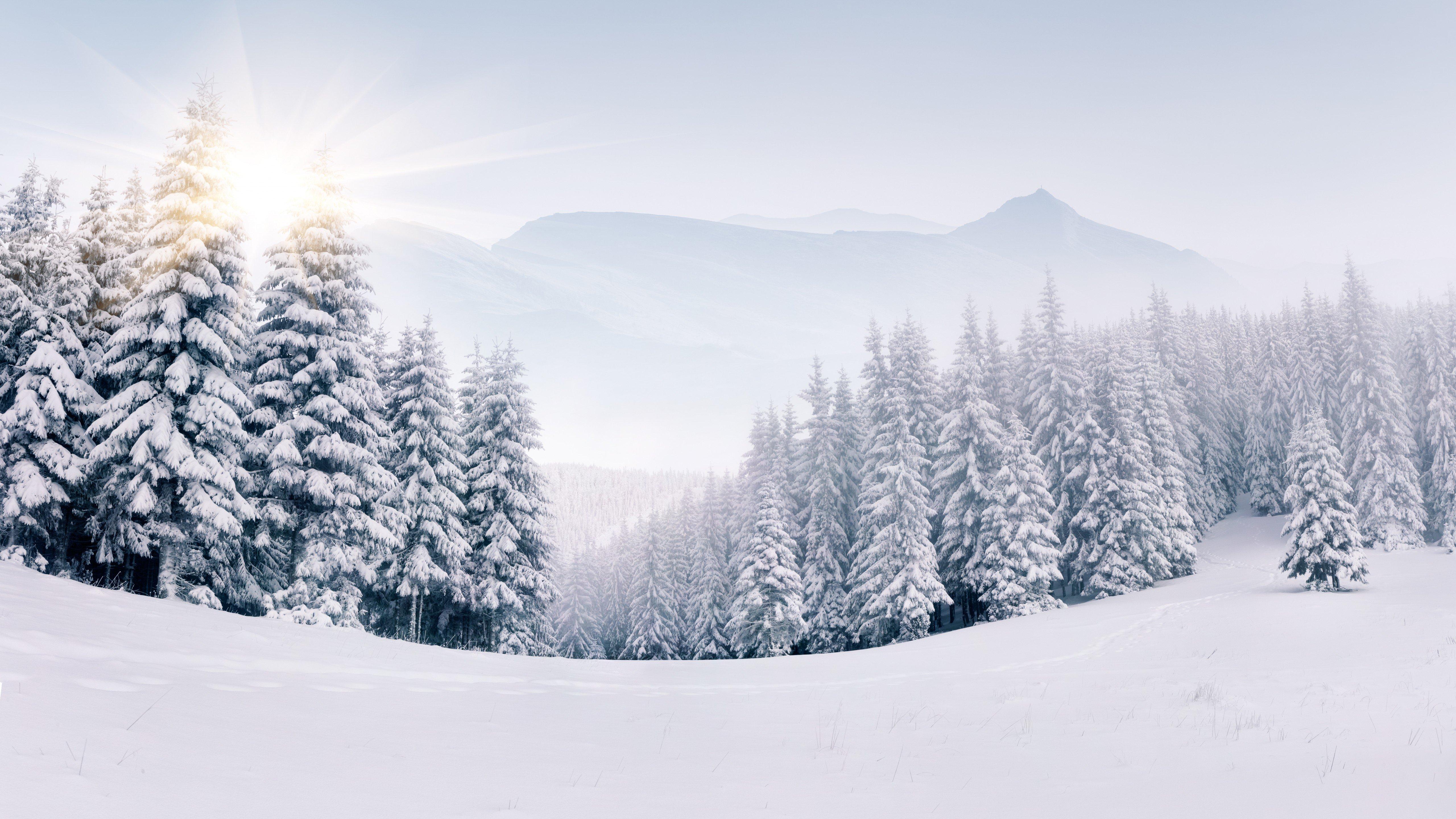 Fondos de pantalla Pinos en bosque nevado en invierno