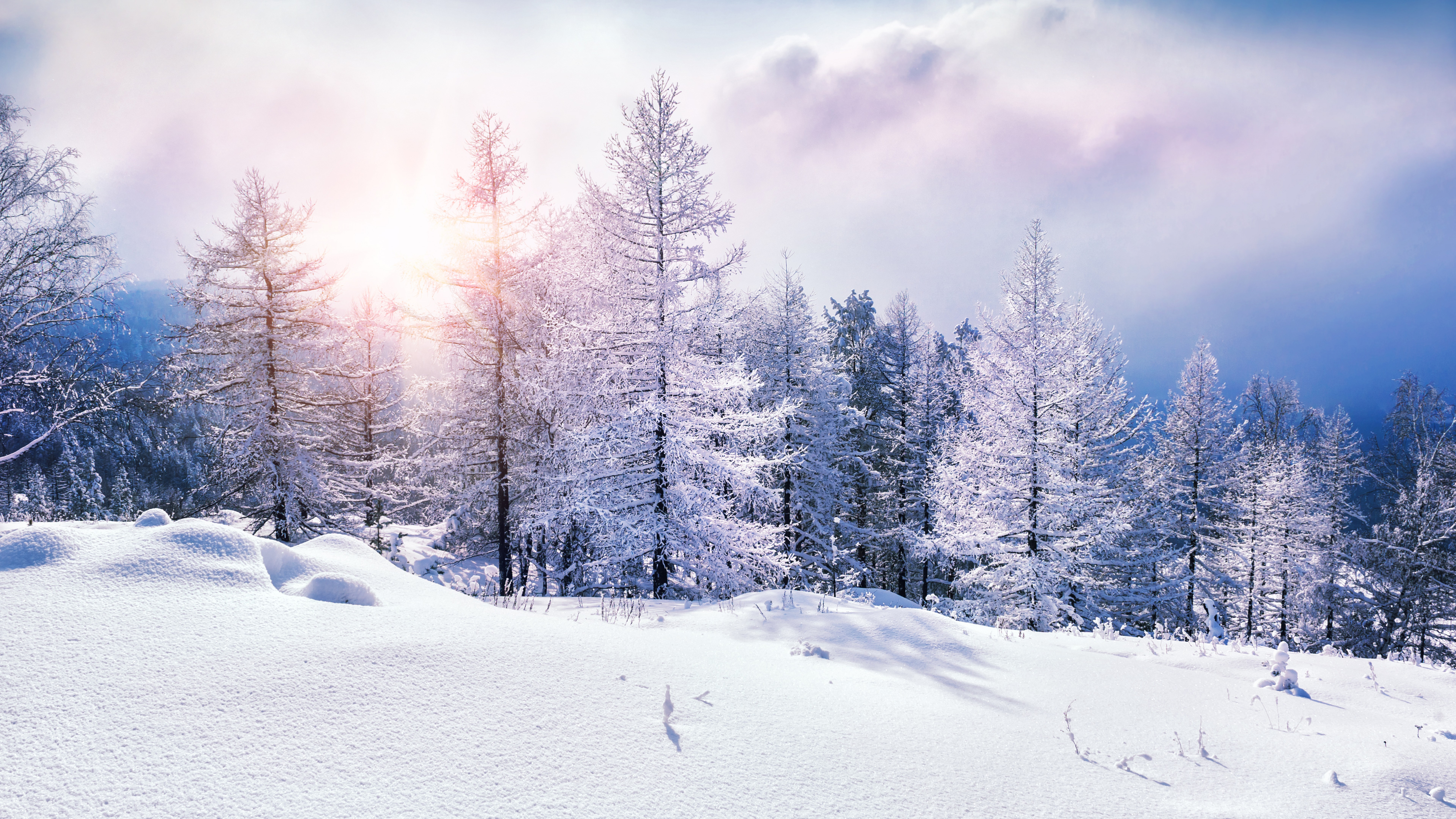 Pine Trees In Winter At Sunset Wallpaper 8k Ultra Hd Id4313