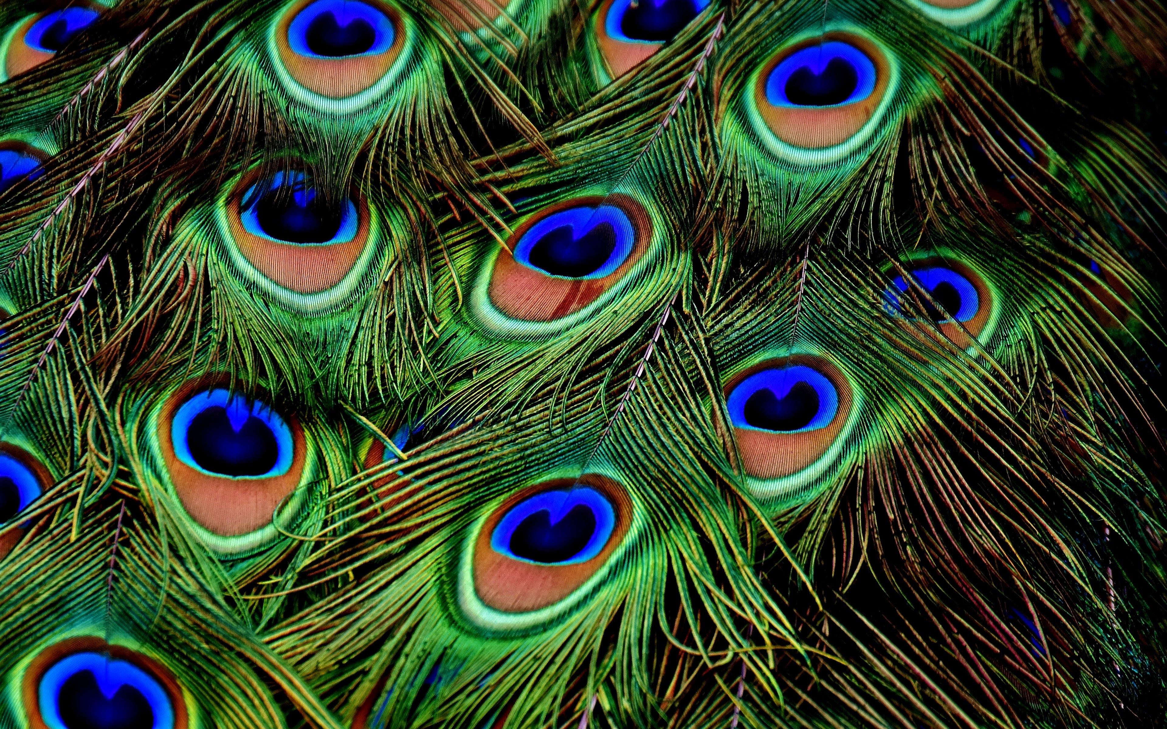Fondos de pantalla Plumas de pavo real