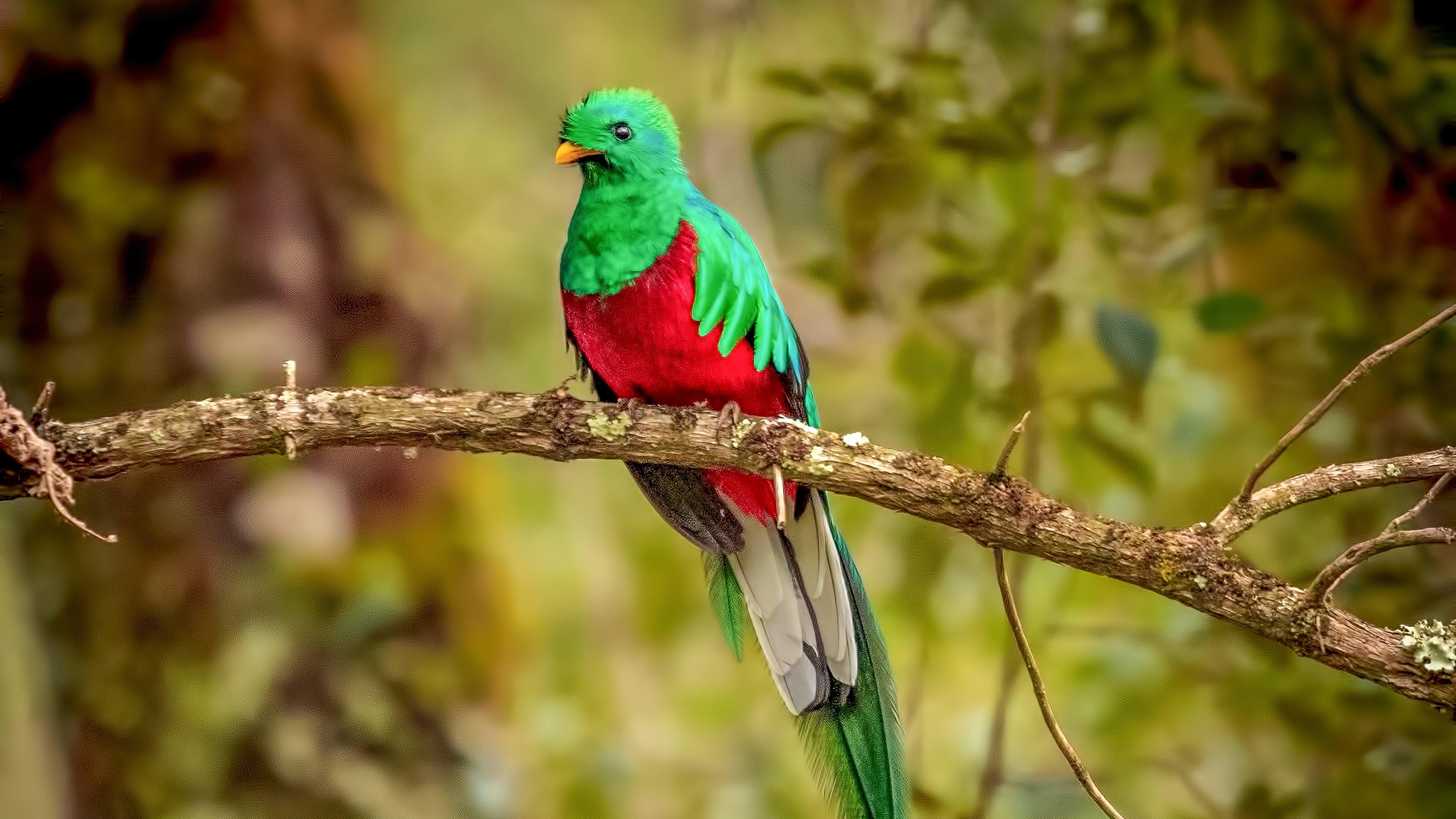 Fondos de pantalla Quetzal en rama