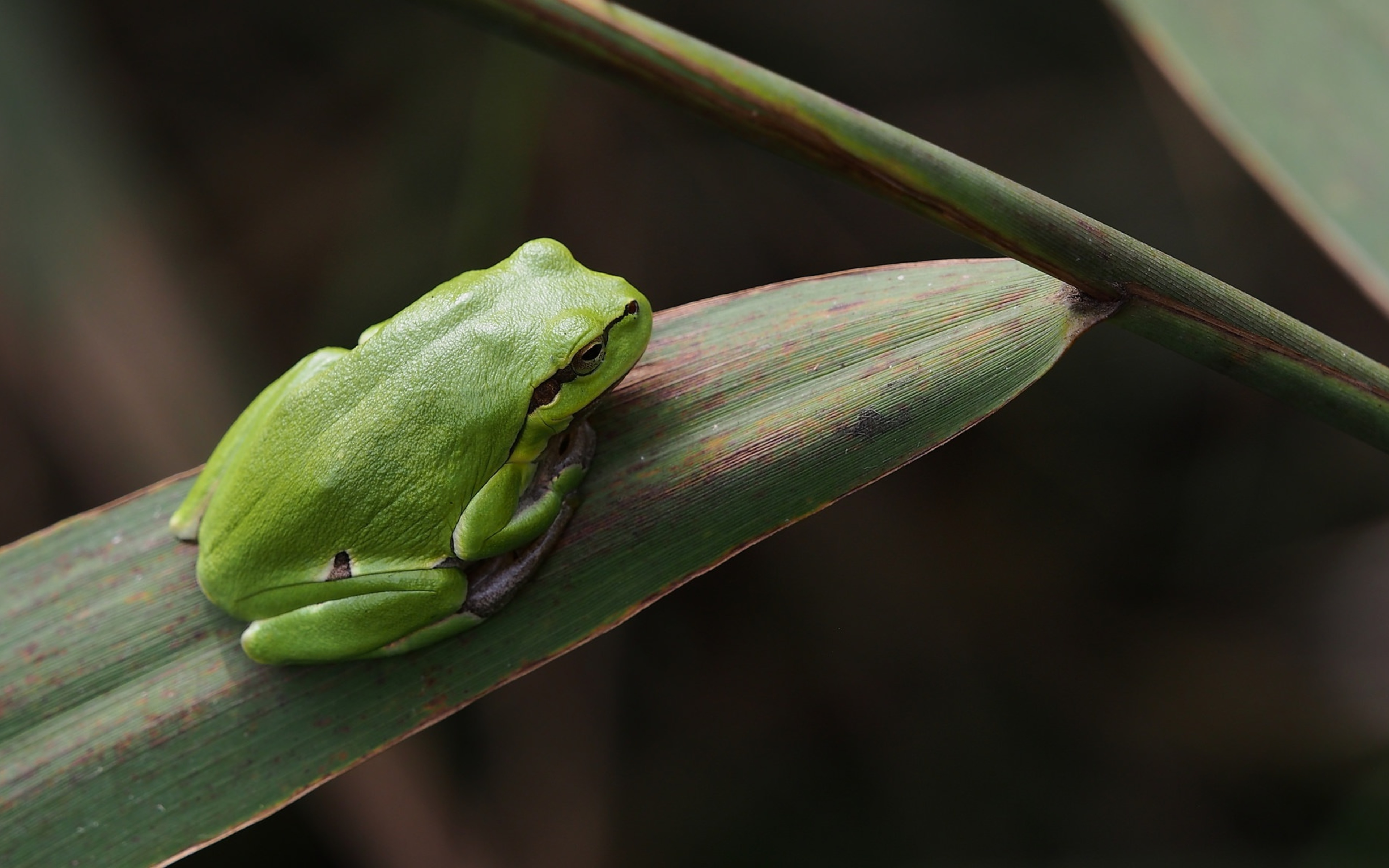 Wallpaper Green frog