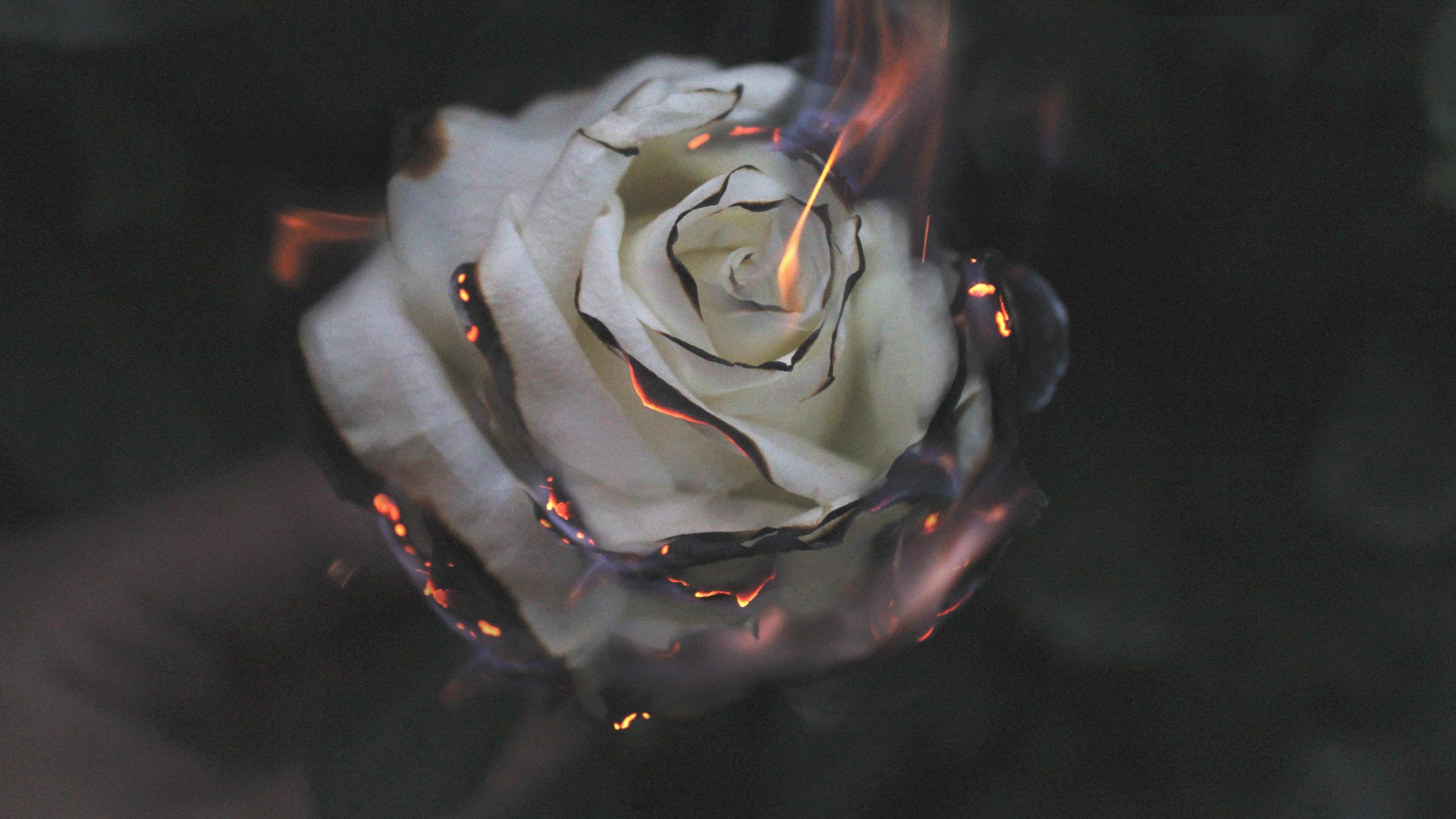 Fondos de pantalla Rosa blanca en fuego