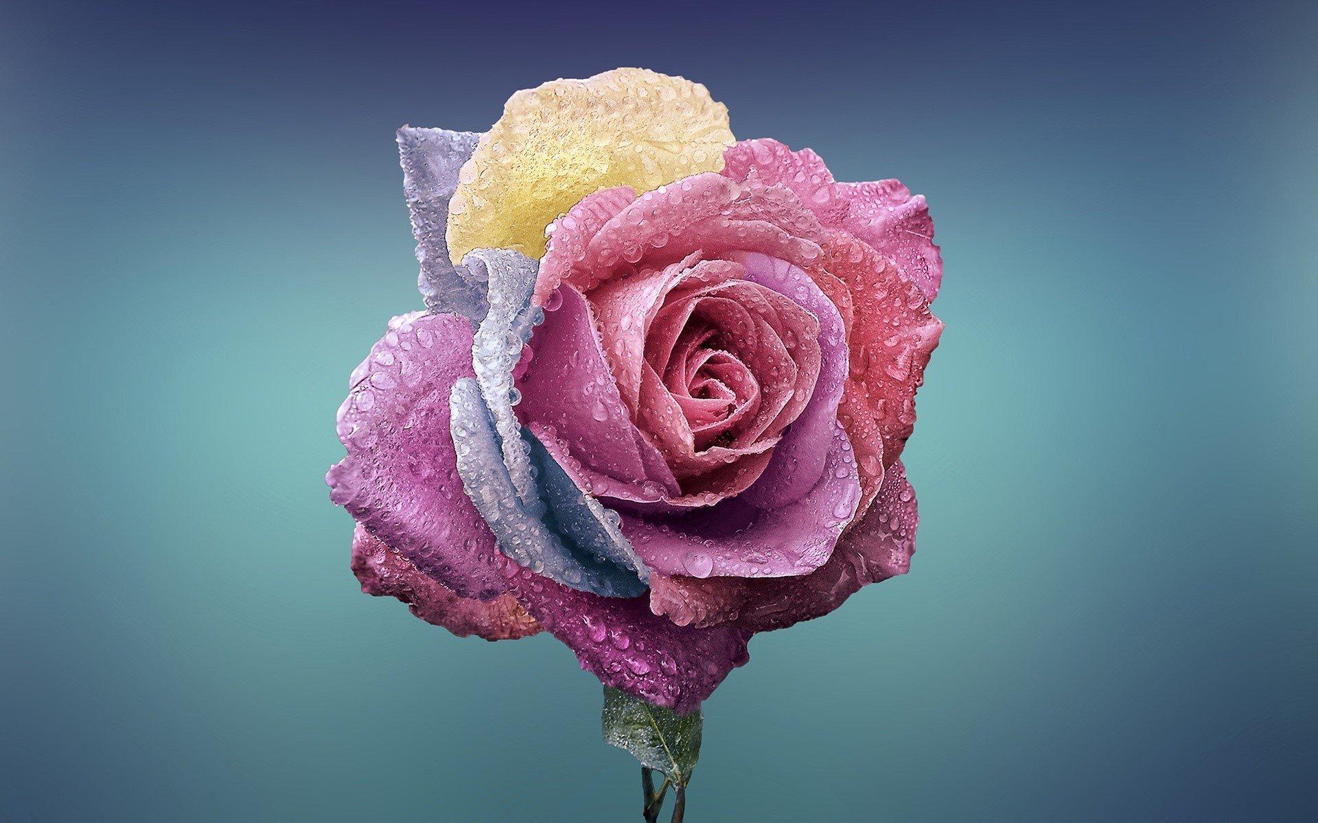 Fondos de pantalla Rosa de colores