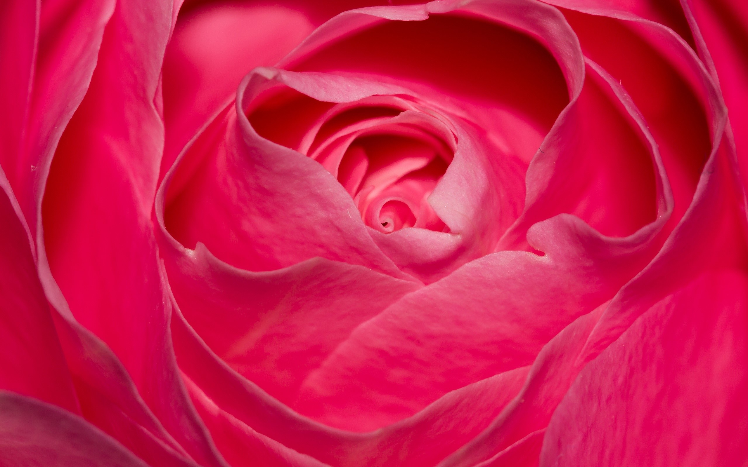 Wallpaper Perfect rose