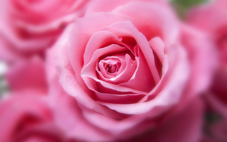Fondo De Pantalla Flores Rosas: Fondo De Pantalla 2880x1800 ID:2174