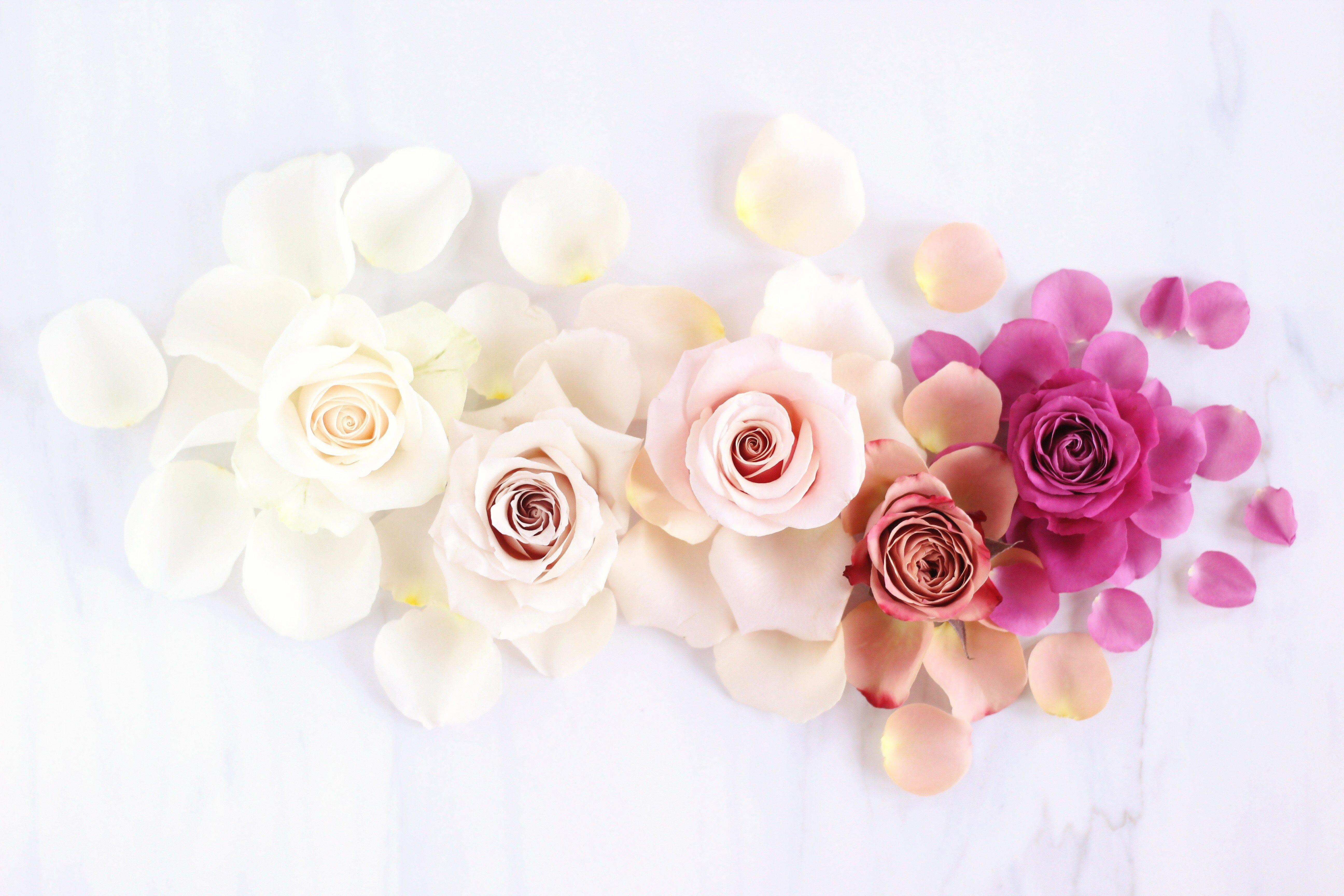 Fondos de pantalla Rosas en Degradado de colores