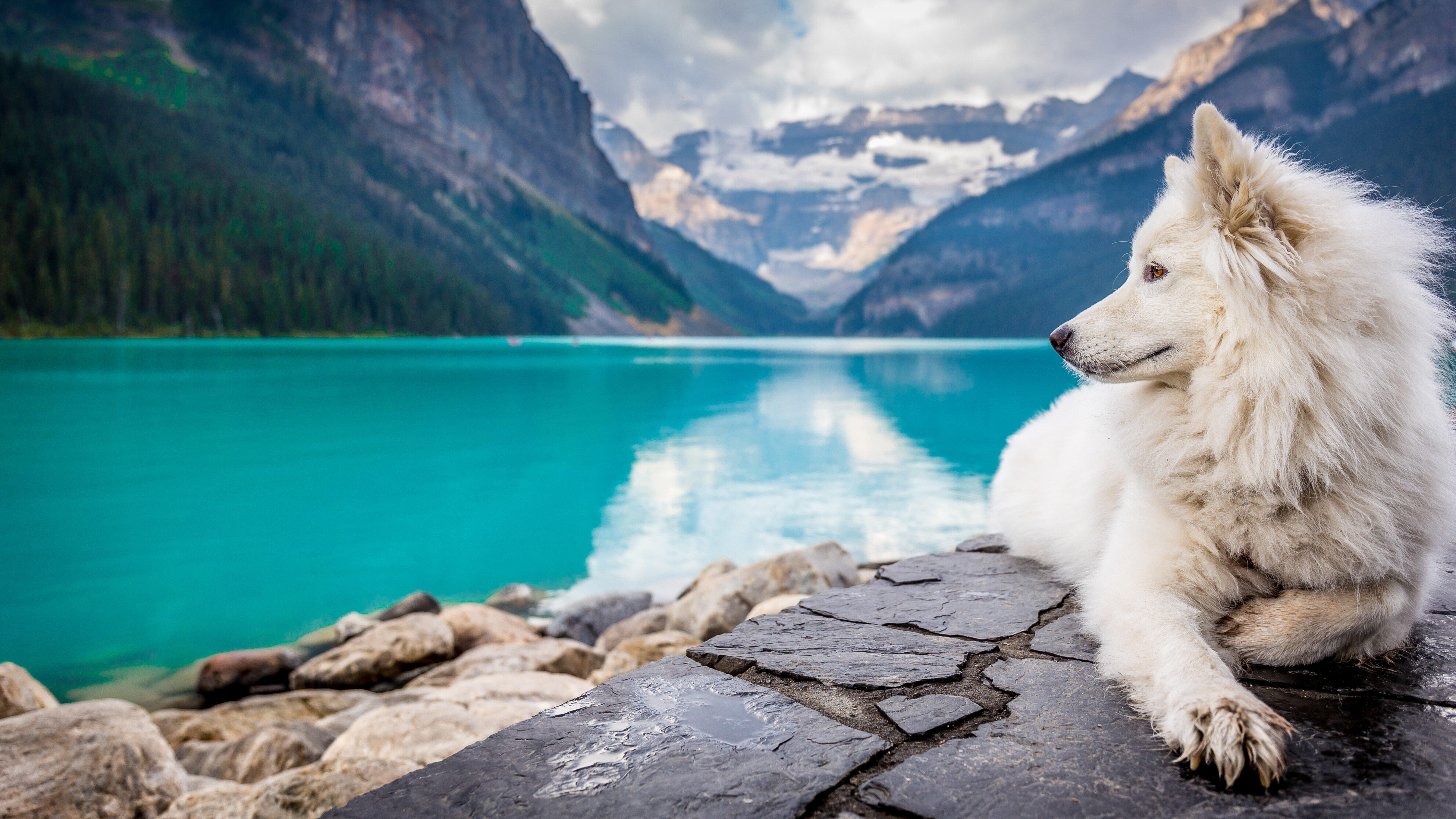 Wallpaper Samoyed in lake and mountains