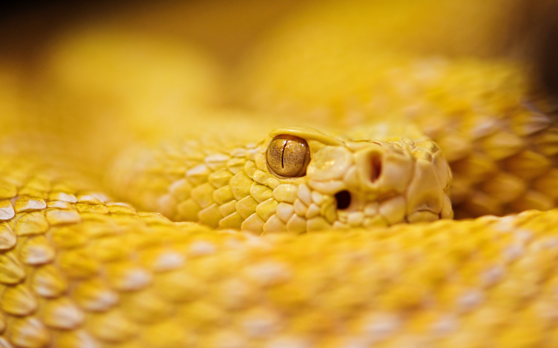 Fondo de pantalla de Serpiente de cascabel de Albino Imágenes