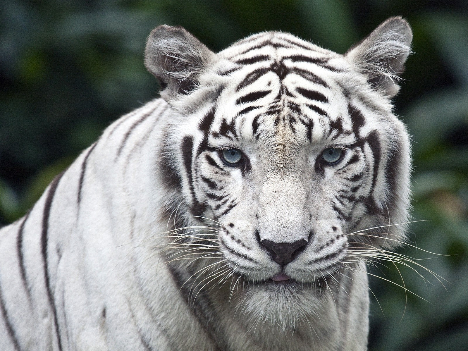 Tigre Blanco Wallpaper 1600x1200 Id1108