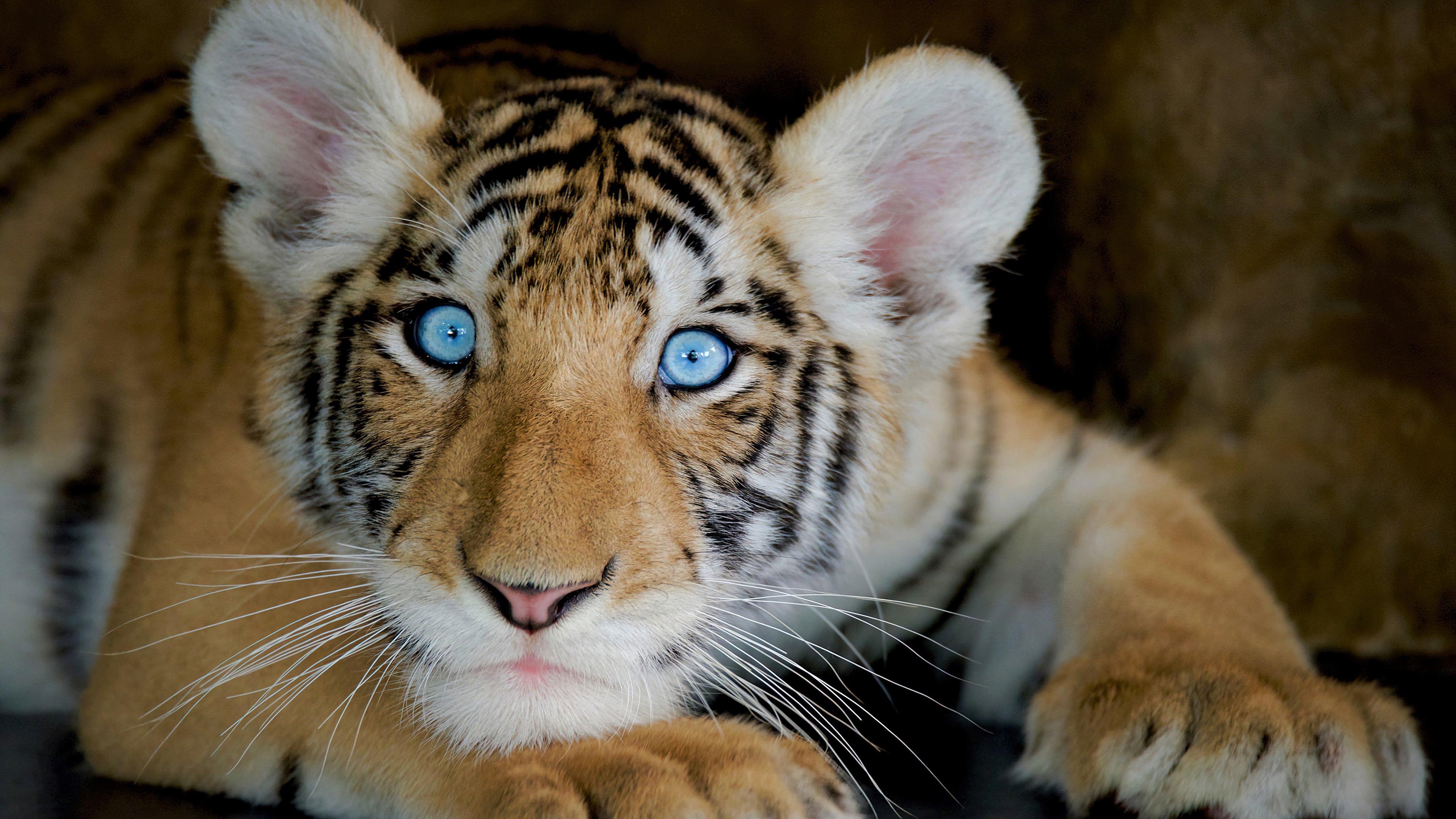 Fondos de pantalla Tigre con ojos azules