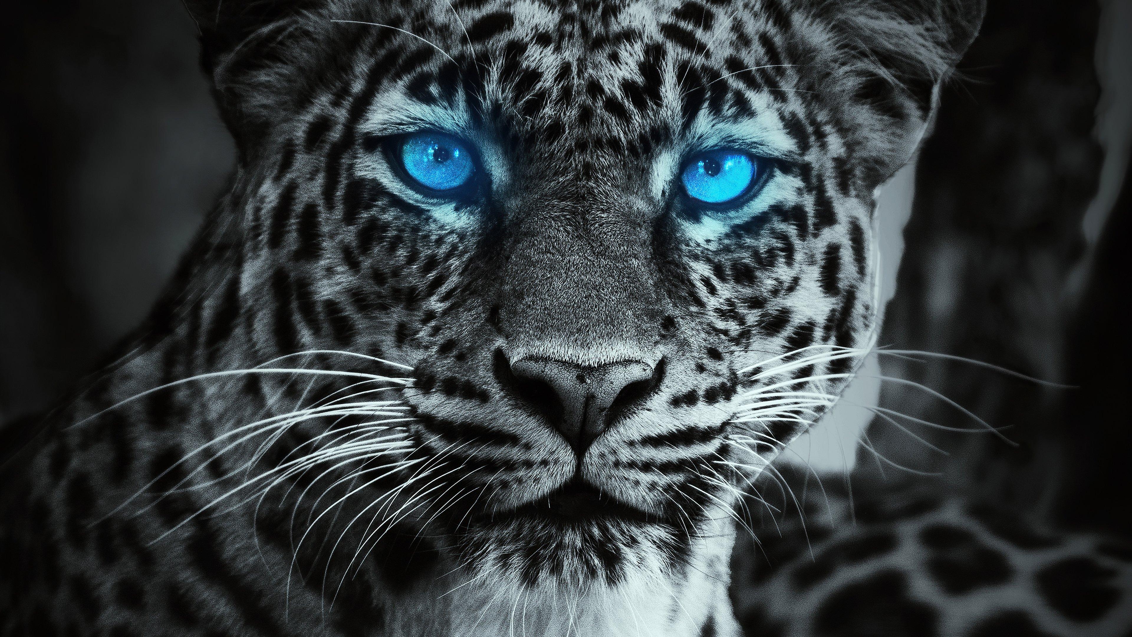 Fondos de pantalla Tigre con ojos azules brillando