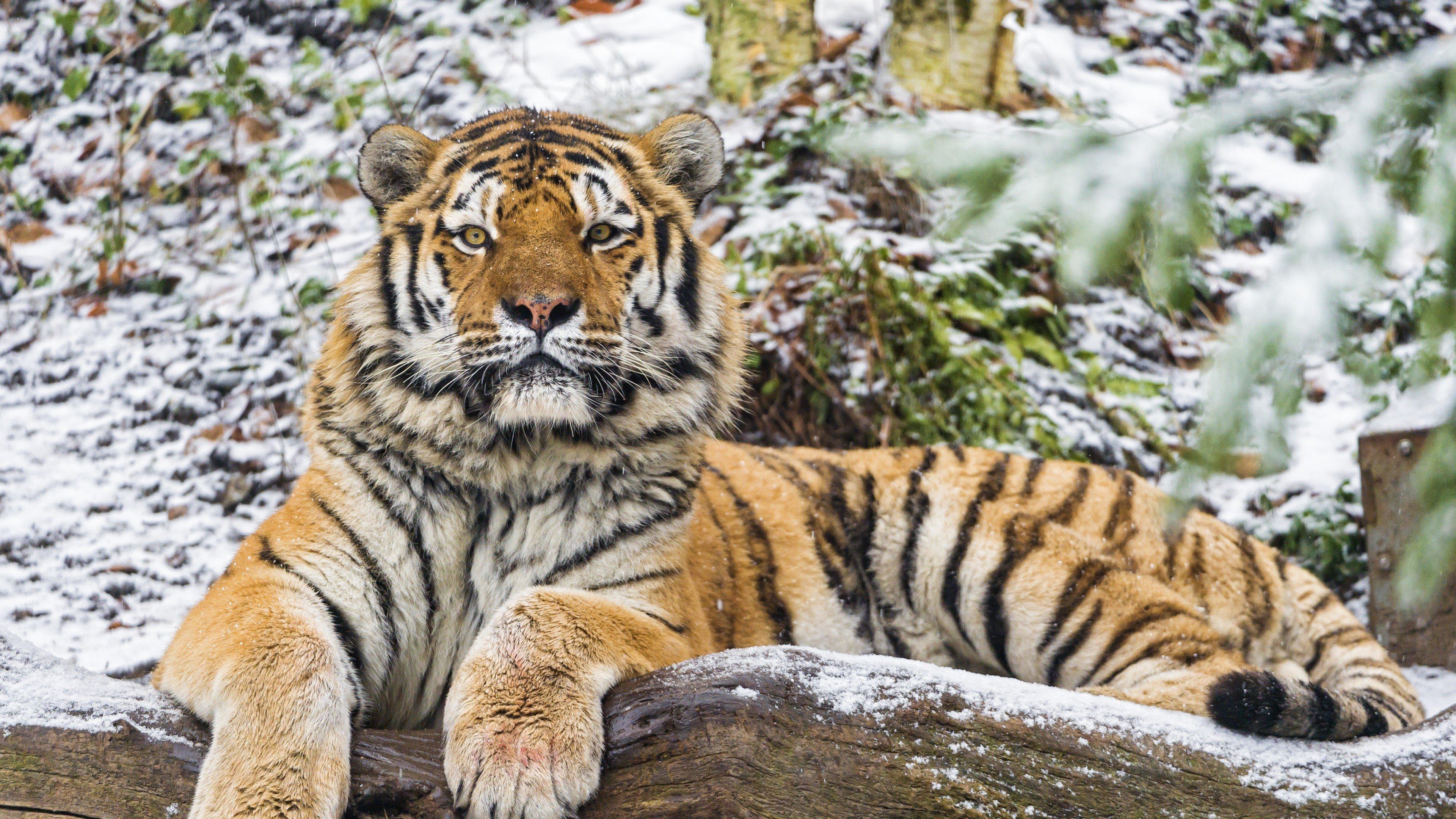 Fondos de pantalla Tigre de Amur