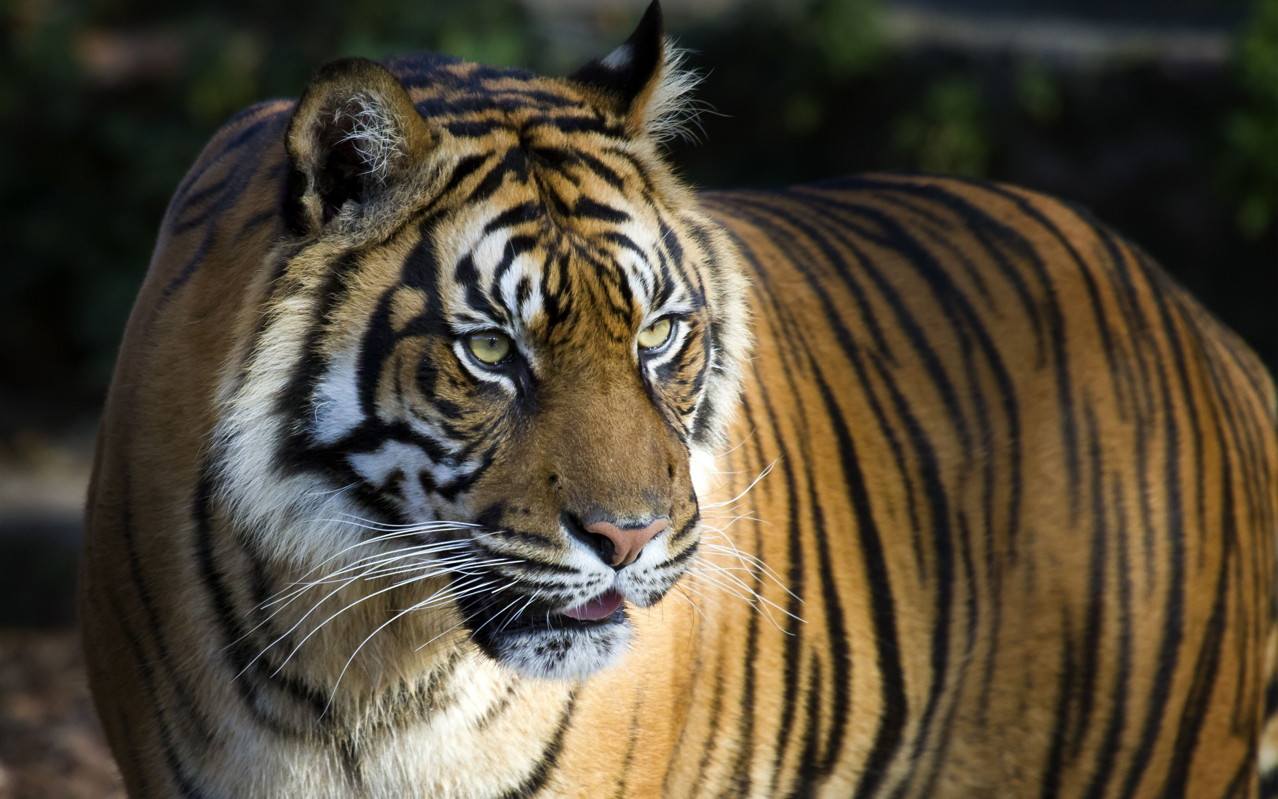 Fondos de pantalla Tigre de bengala