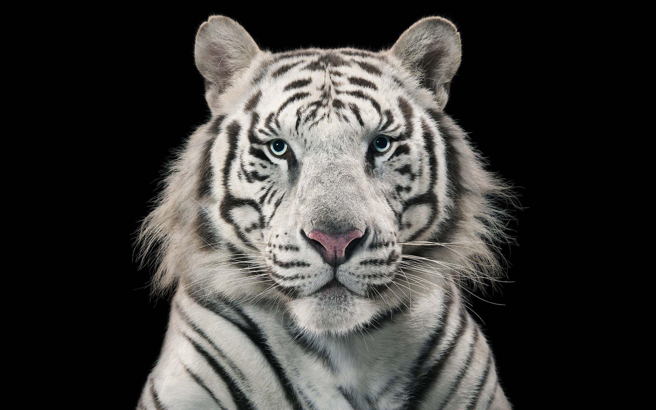 Fondo de pantalla de Tigre de Bengala Blanco Imágenes