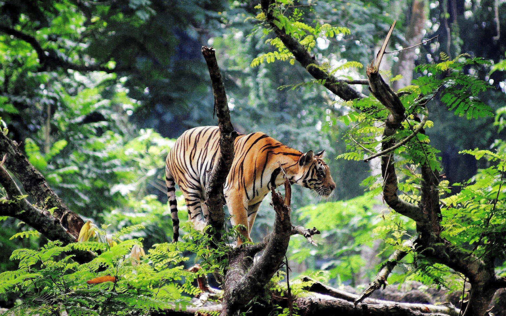 Fondo de pantalla de Tigre de bengala en la selva Imágenes