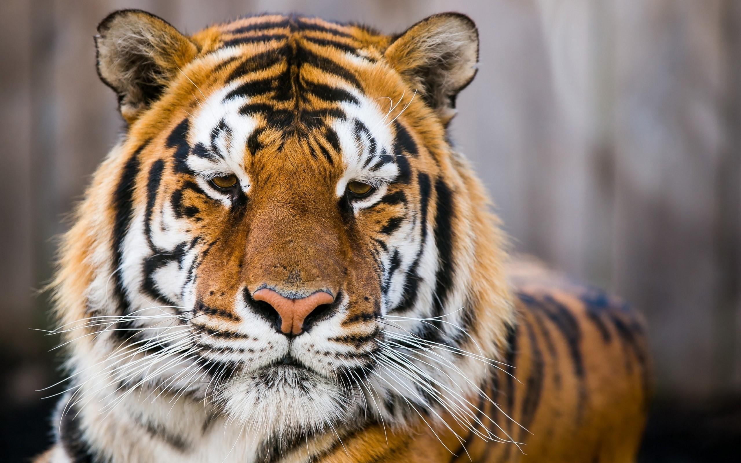 Fondo de pantalla de Tigre en la reserva de Ranthambore Imágenes