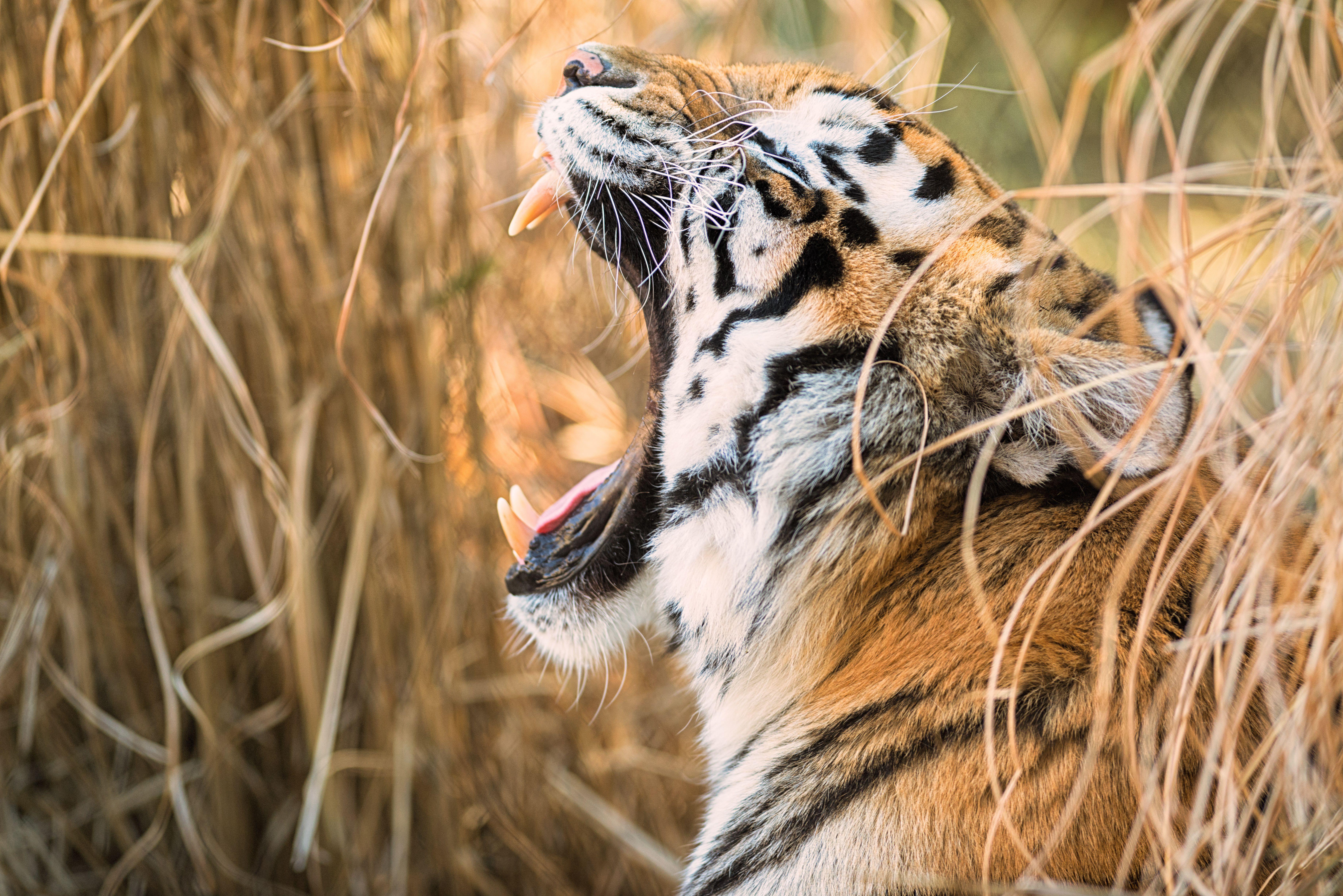 Fondos de pantalla Tigre rugiendo